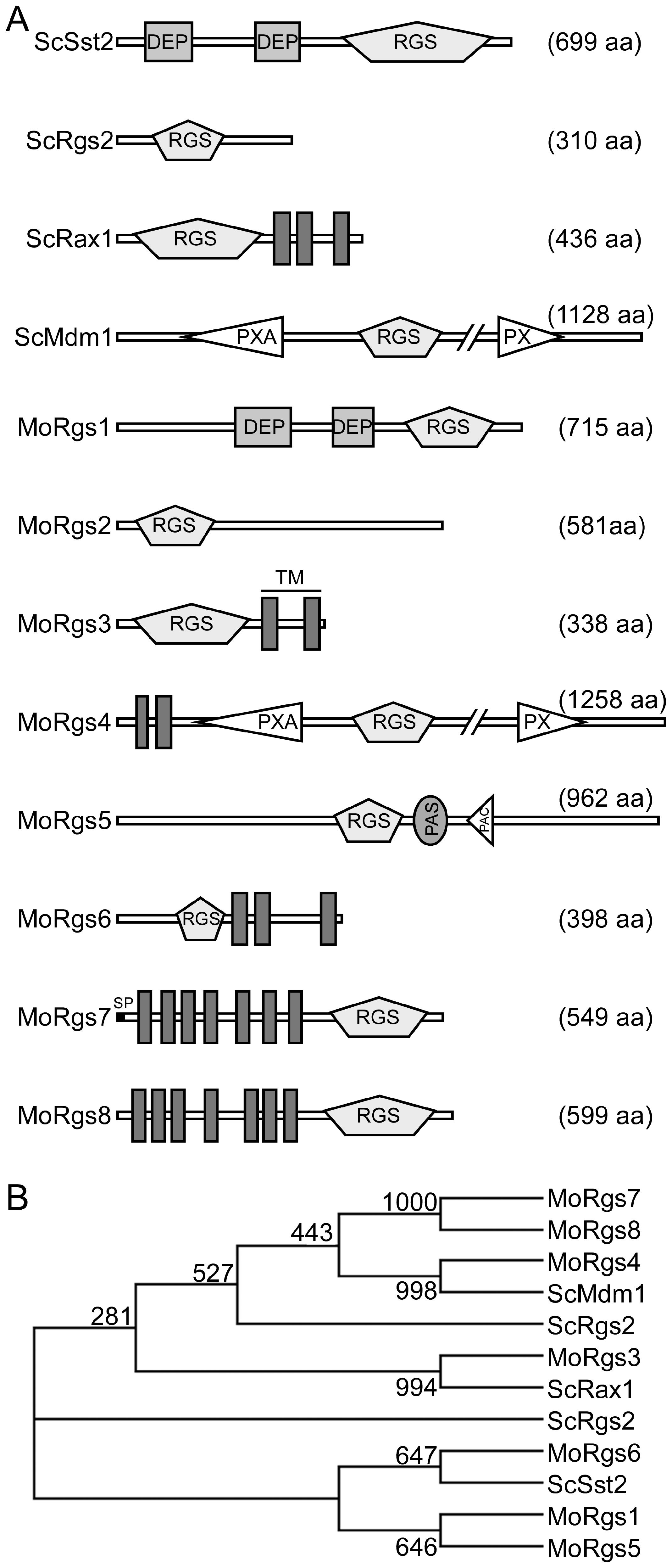 <i>M. oryzae</i> encodes eight RGS and RGS-like proteins.