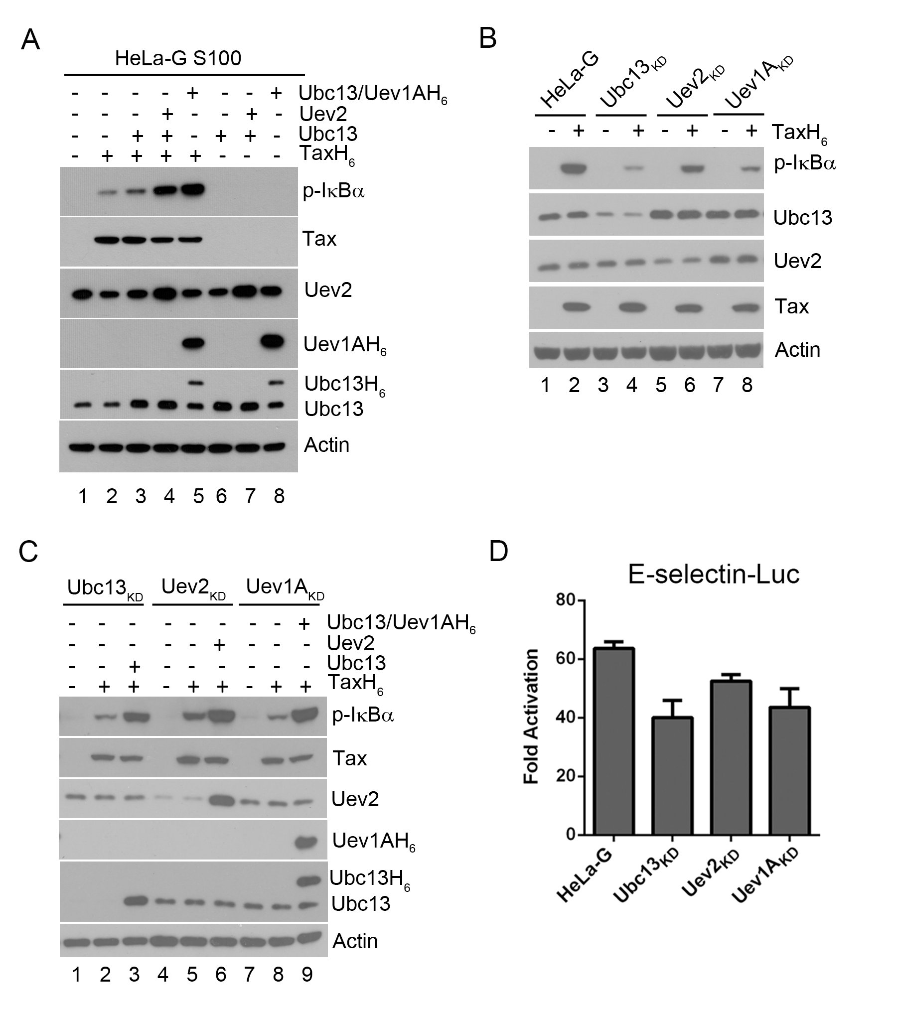 Ubc13-containing E2 enzymes are crucial for IKK activation by Tax <i>in vitro</i> and <i>in vivo</i>.