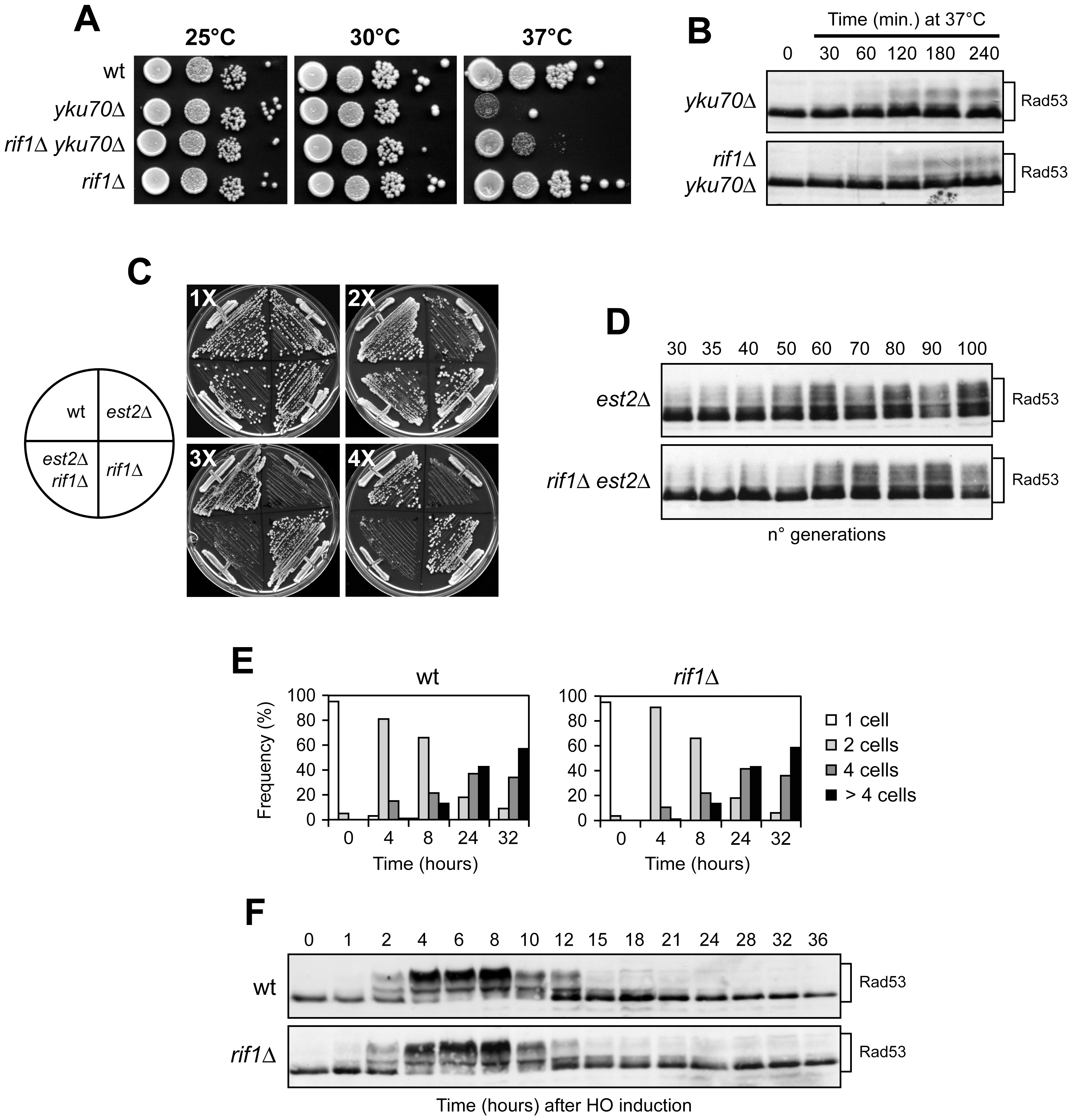 <i>RIF1</i> deletion does not influence the checkpoint response to CST-independent telomere capping deficiencies or to an irreparable DSB.
