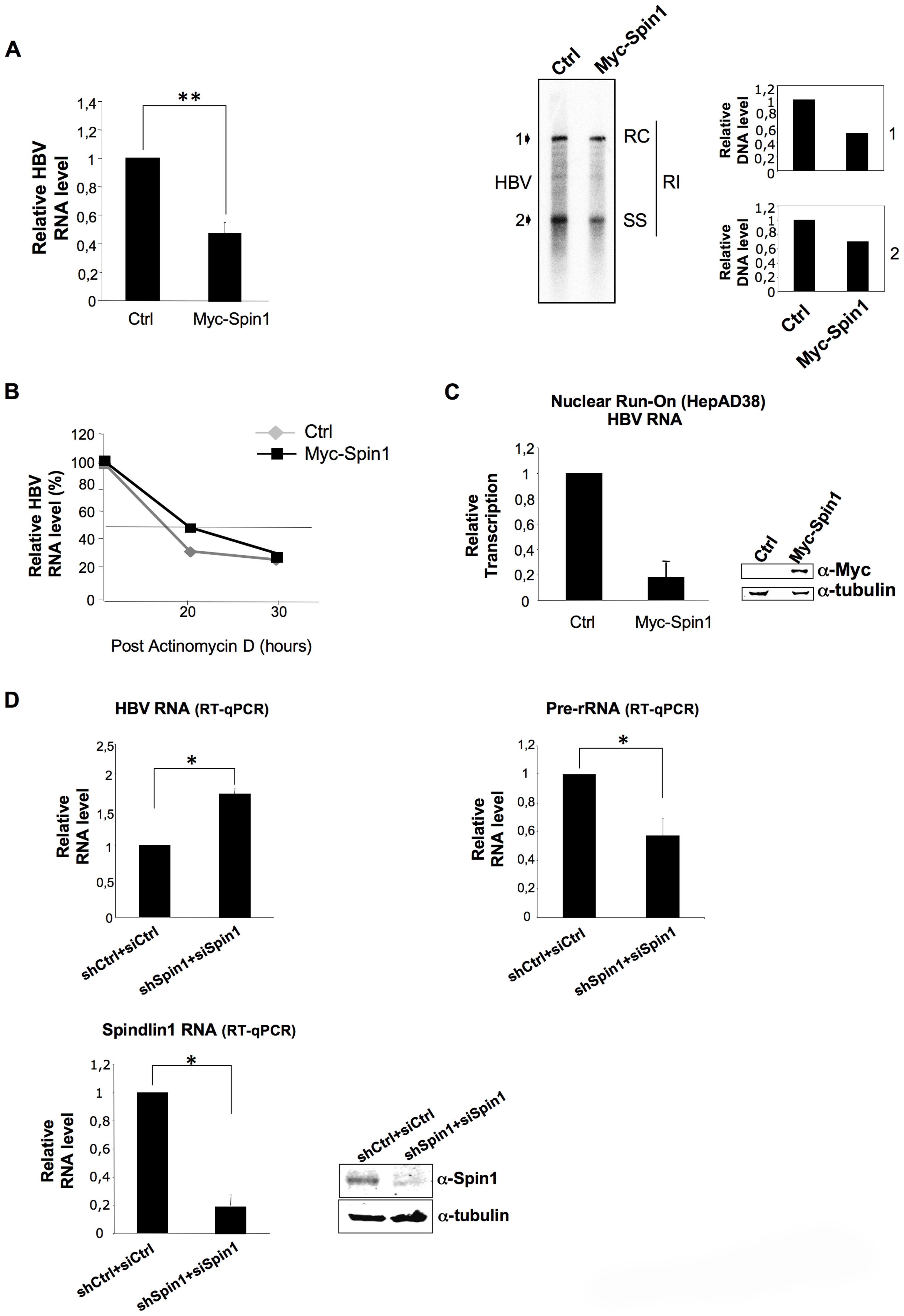 Spindlin1 represses HBV transcription in HepAD38 cells.