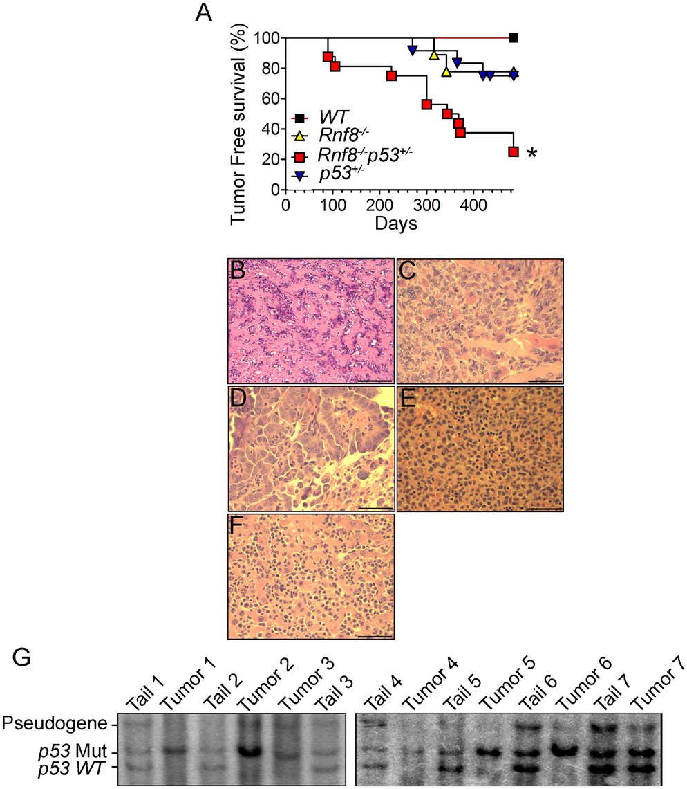 Increased tumor incidence and modification of the tumor spectrum in <i>Rnf8<sup>−/−</sup>p53<sup>+/−</sup></i> mice.