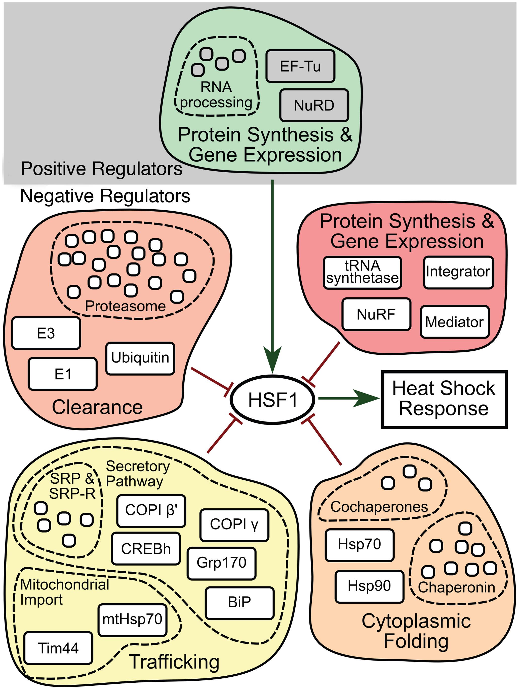 HSR regulatory network model.