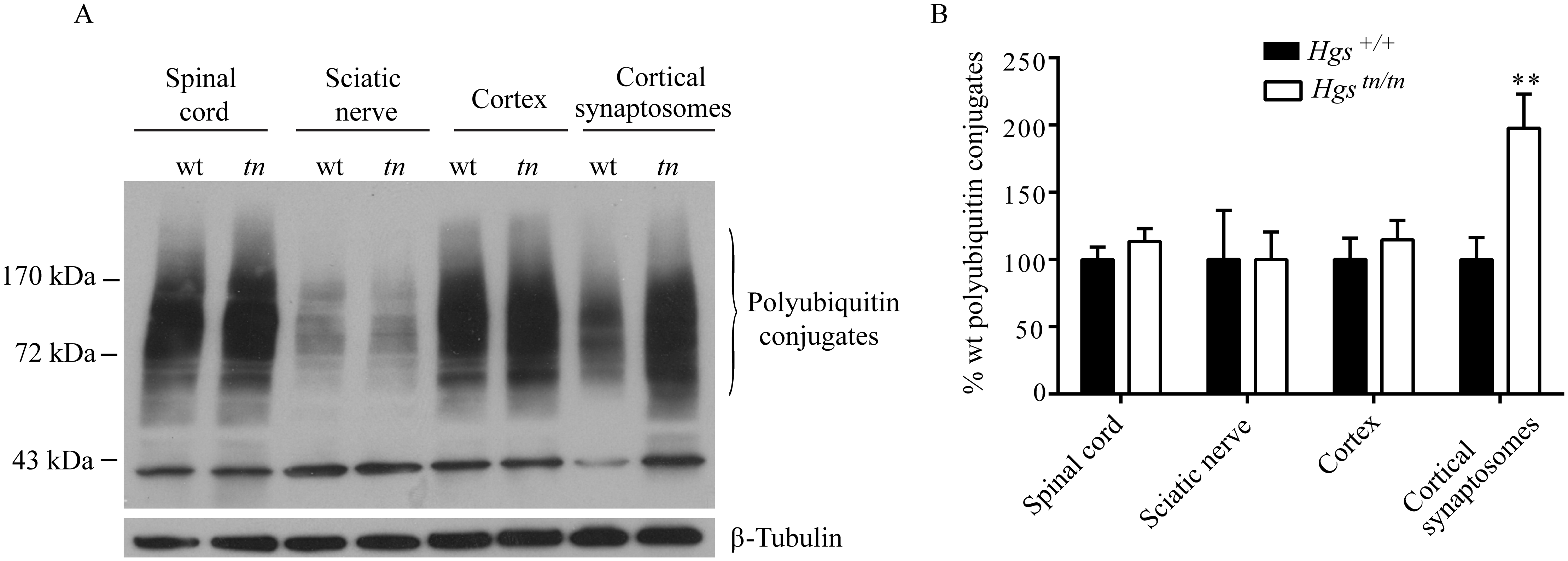 Effect of reduced HGS expression on ubiquitin conjugates in the nervous system of <i>Hgs</i><sup><i>tn/tn</i></sup> mice.
