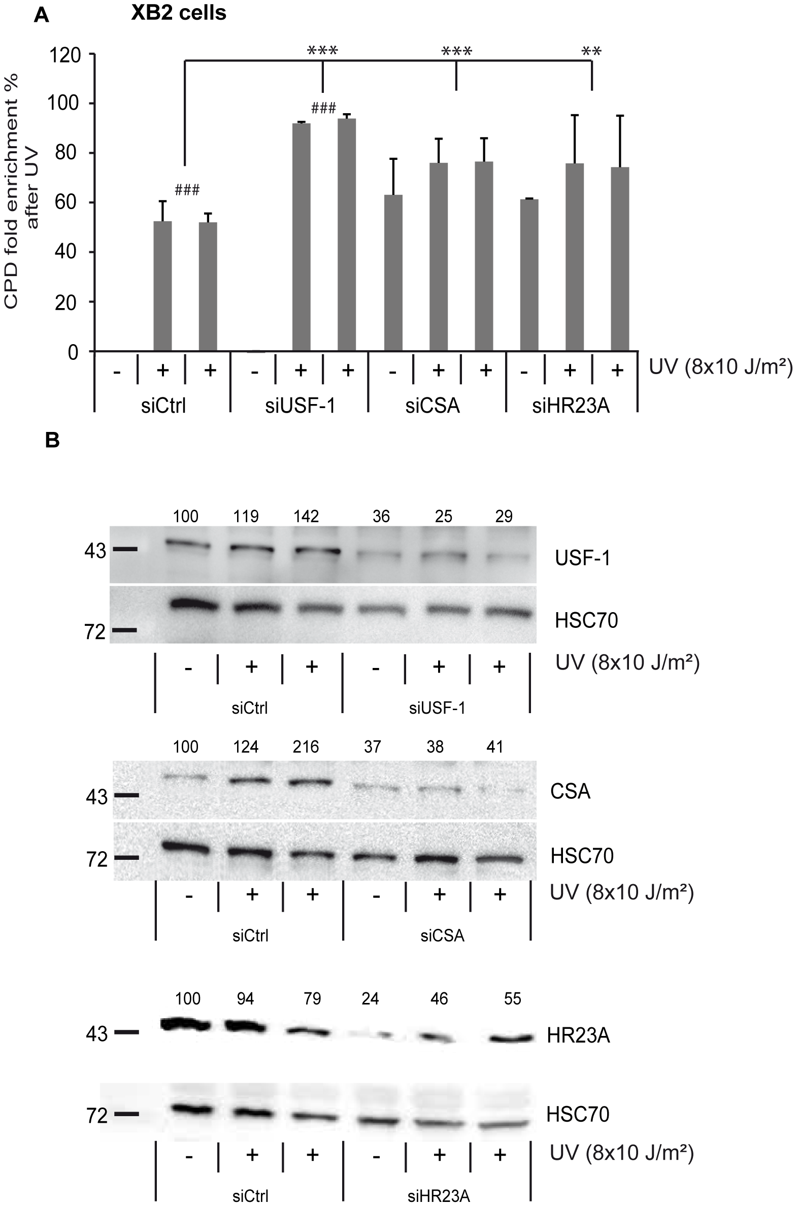 CSA, HR23A, and USF-1 knock-down (KD) affect the level of DNA damage in XB2 cells.