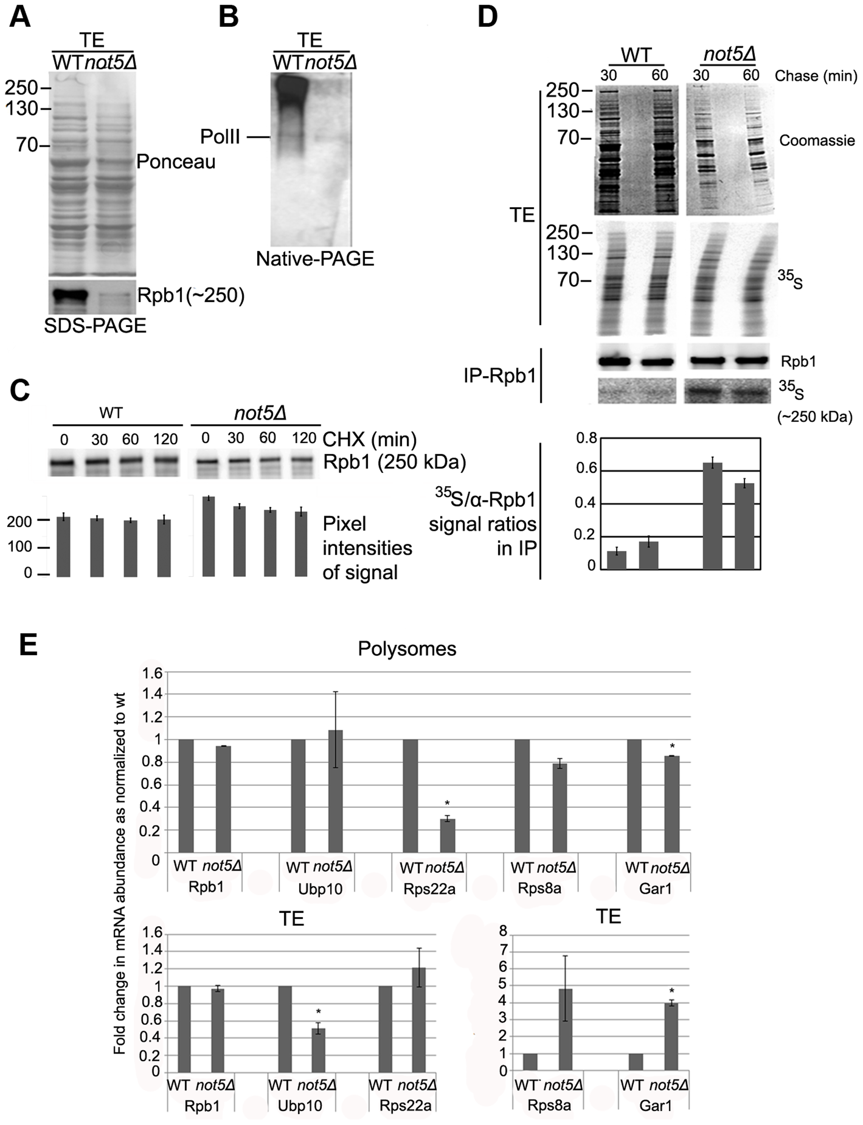 The levels of soluble Rpb1 are decreased in <i>not5Δ</i>.