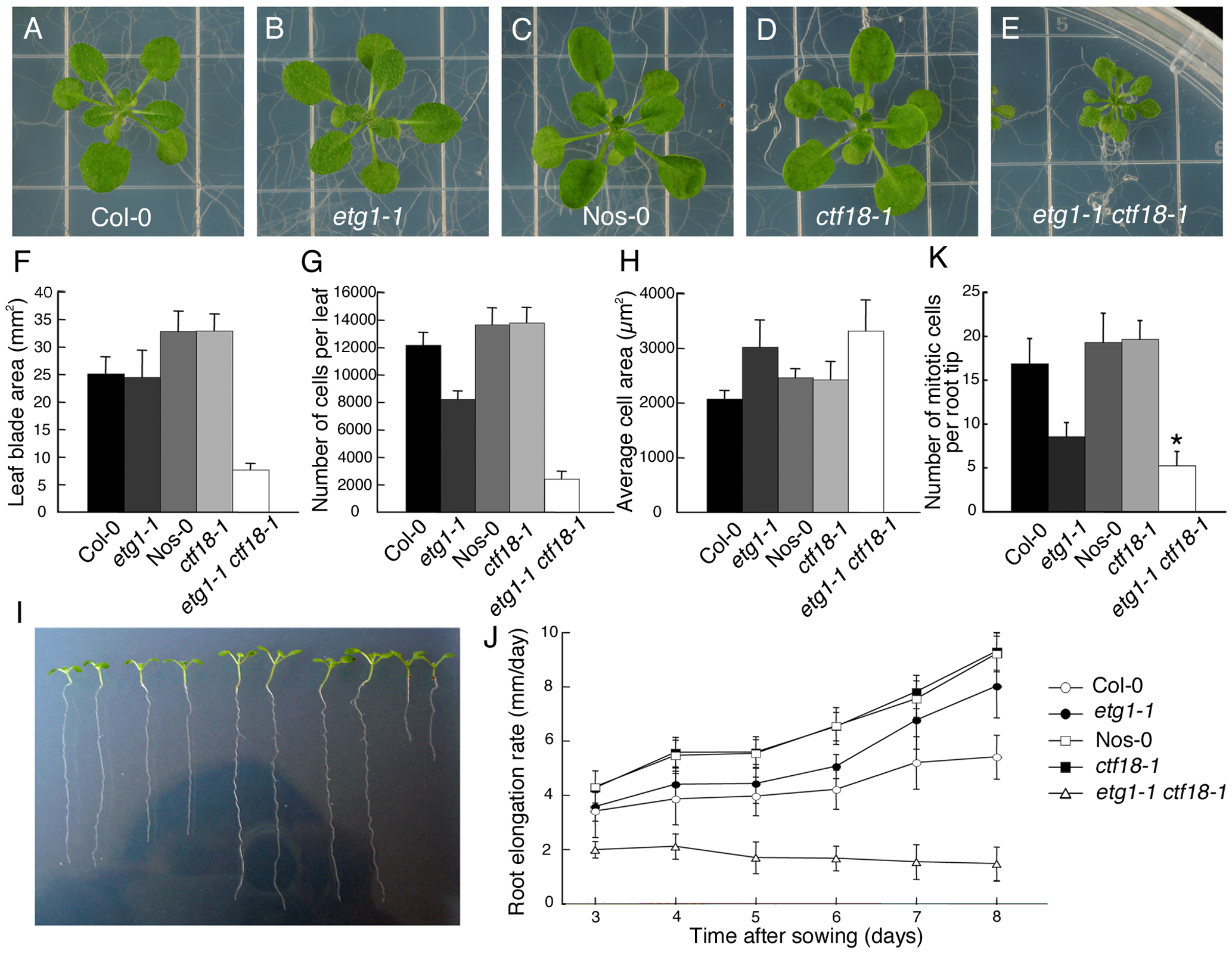 Inhibition of plant growth by loss of sister chromatid cohesion.