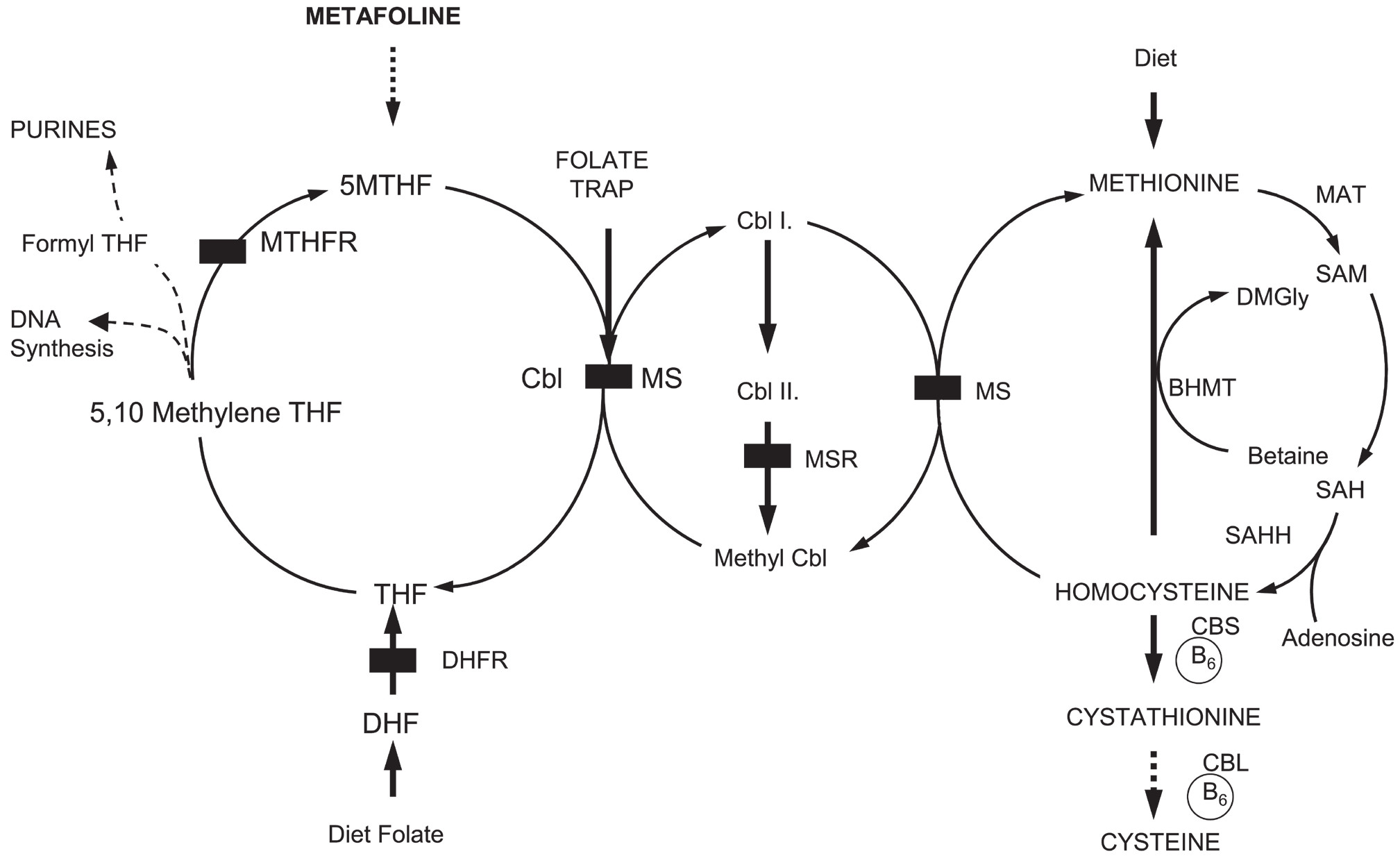 Fig. 1. Metabolic scheme of homocystein methylation in human.
