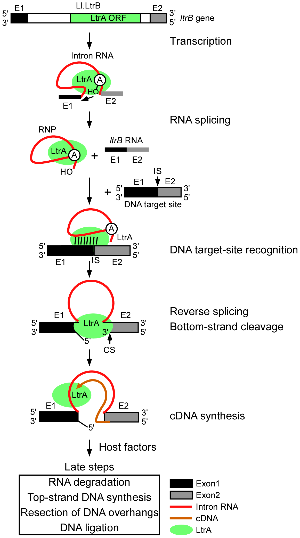 Retrohoming pathway of Ll.LtrB intron lariat RNA in bacteria.