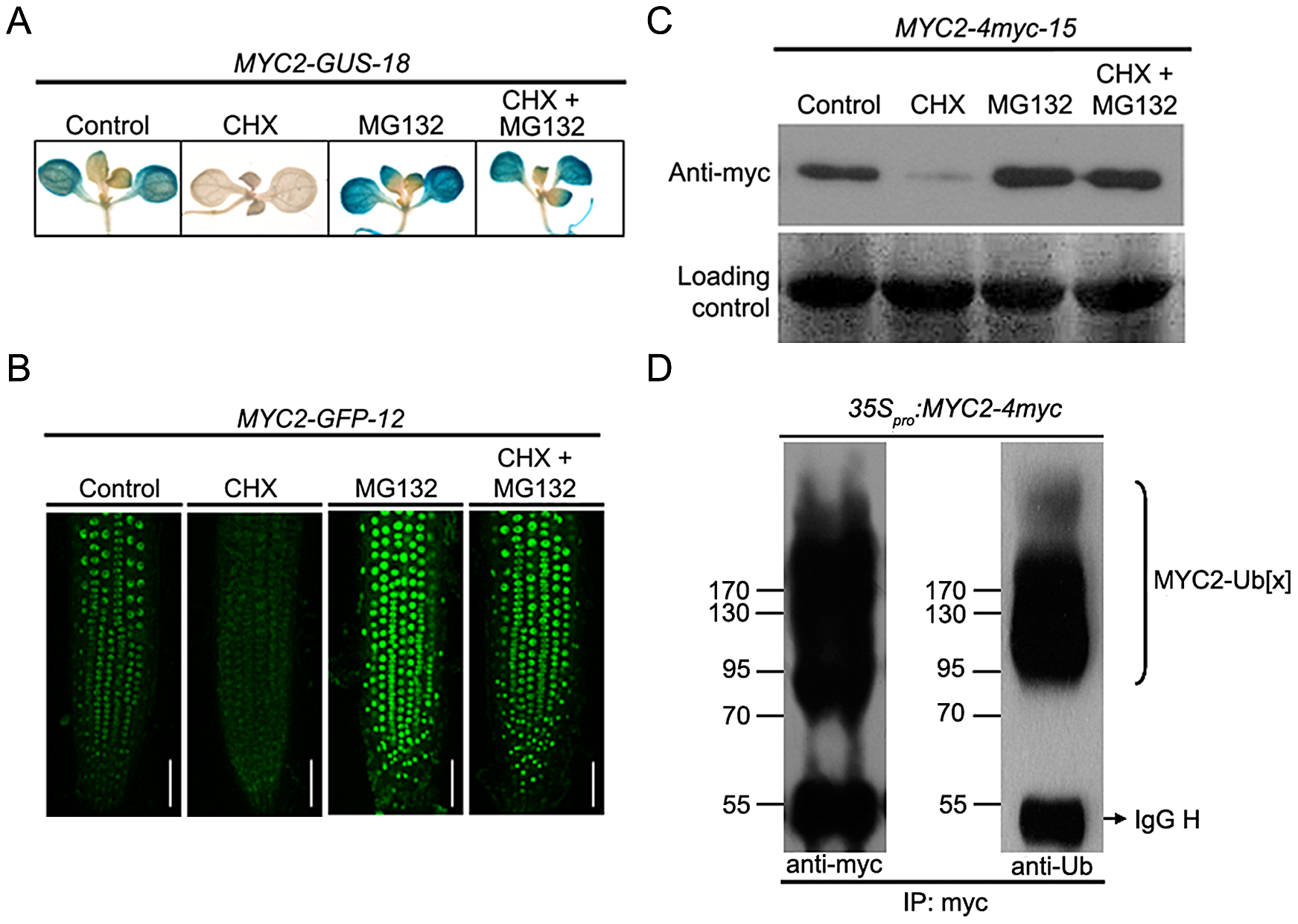MYC2 Is Subjected to Proteasome-Mediated Degradation.