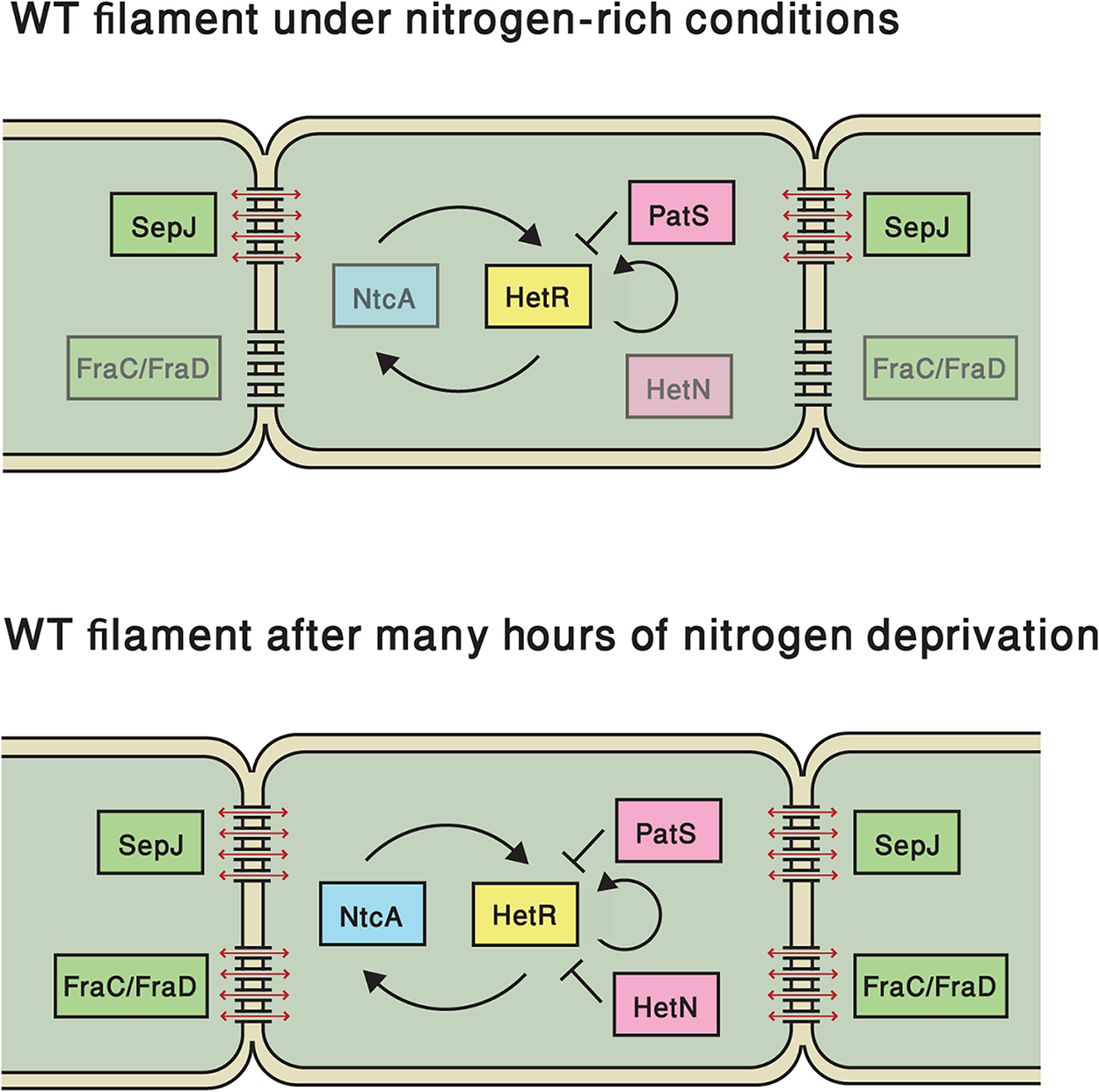 Elements that regulate <i>hetR</i> expression in this study, both under nitrogen-replete conditions and following nitrogen deprivation.