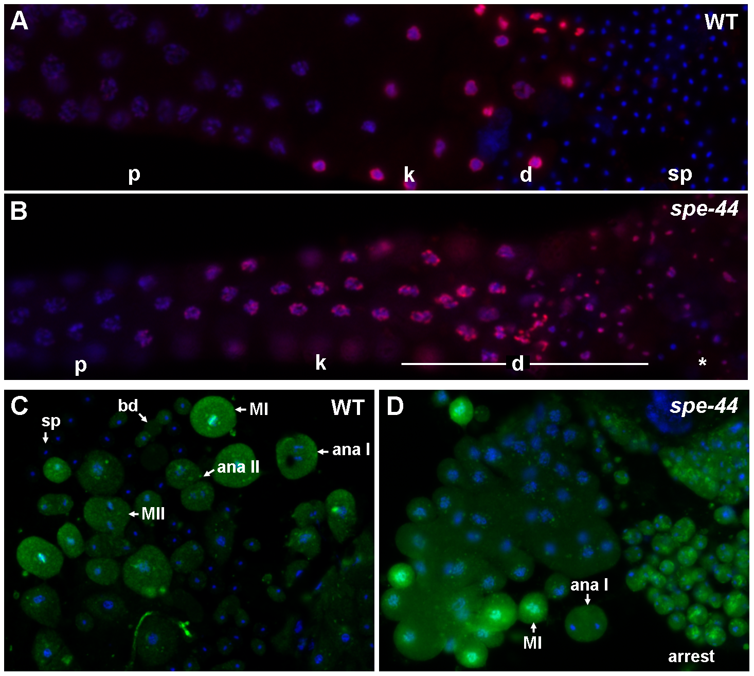 Cell cycle defects in <i>spe-44</i> sperm.