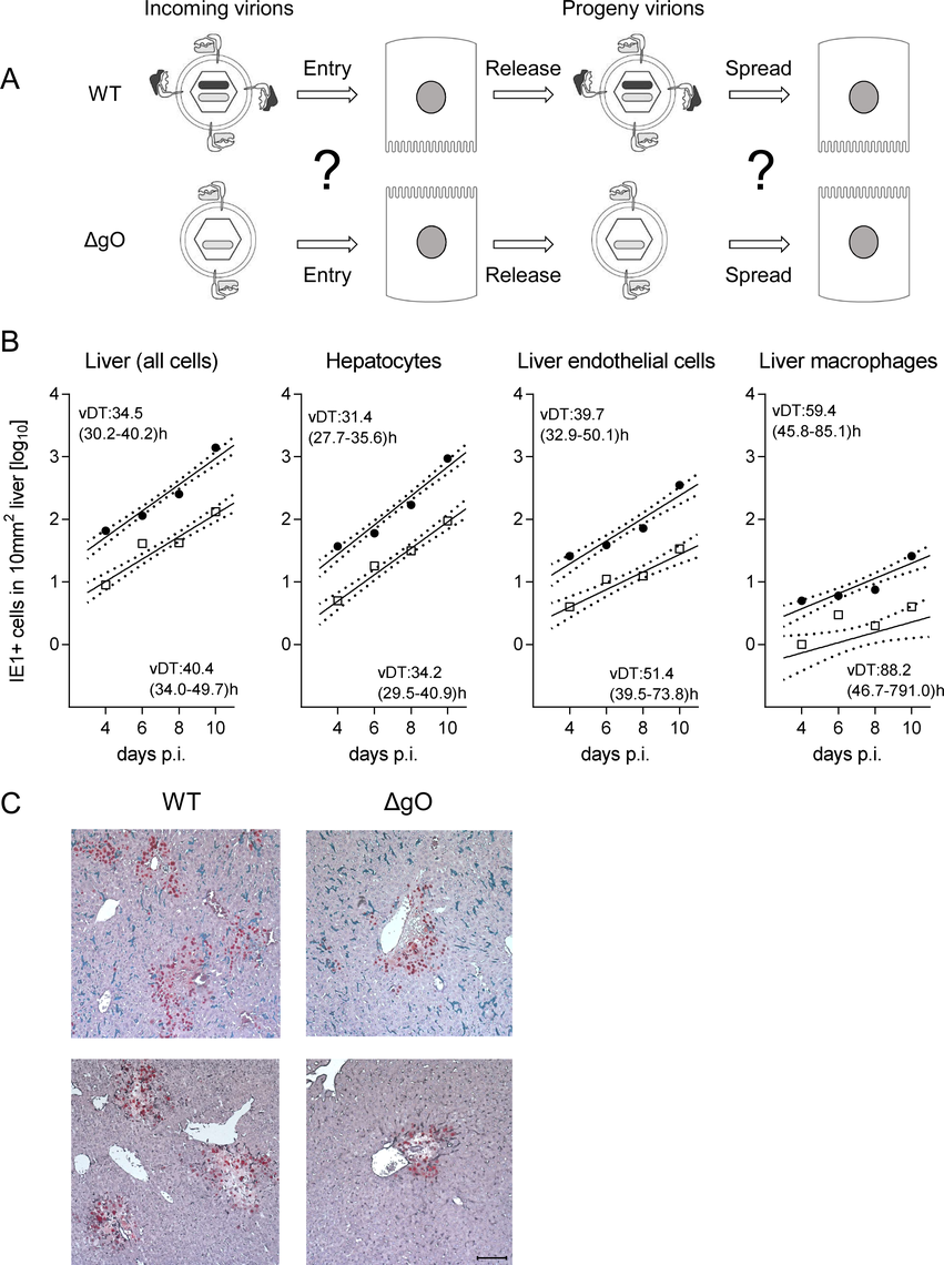 gO-independence of virus spread in liver tissue.