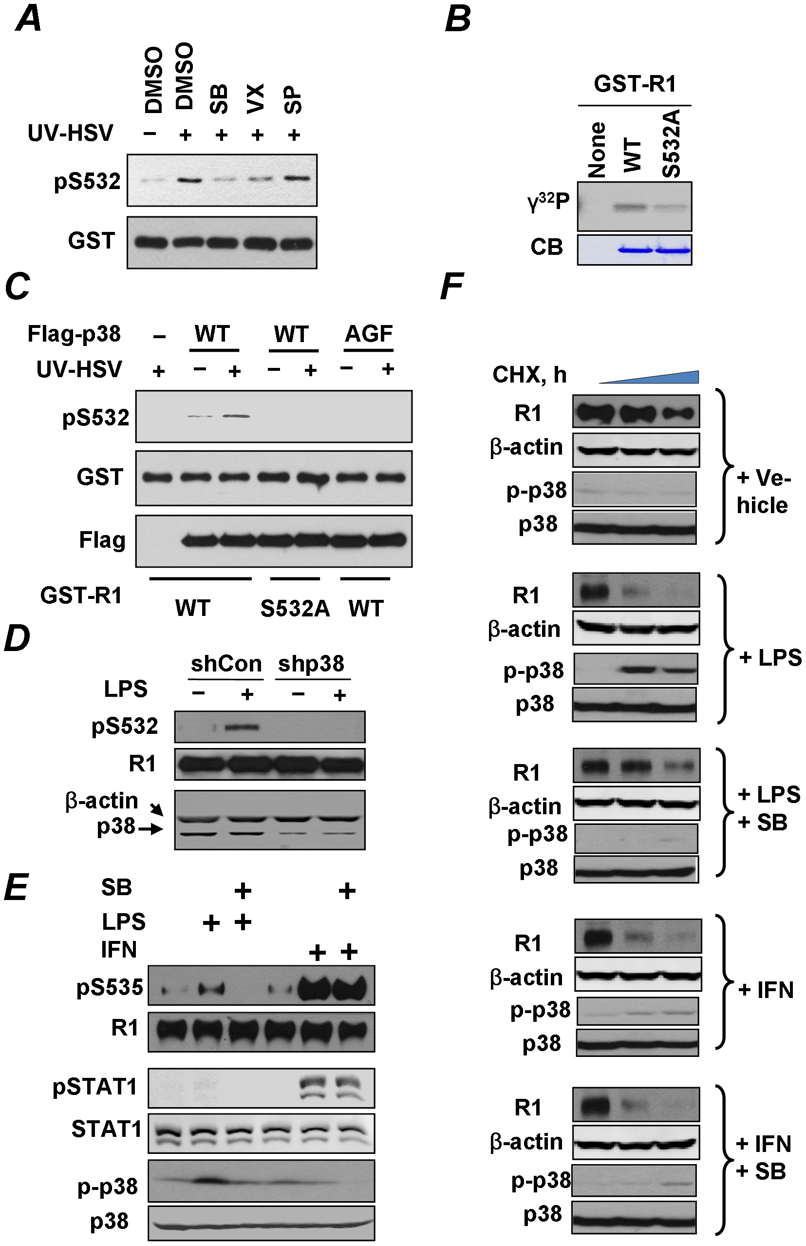 Role of p38 kinase in regulation of IFNAR1 phosphorylation and degradation.