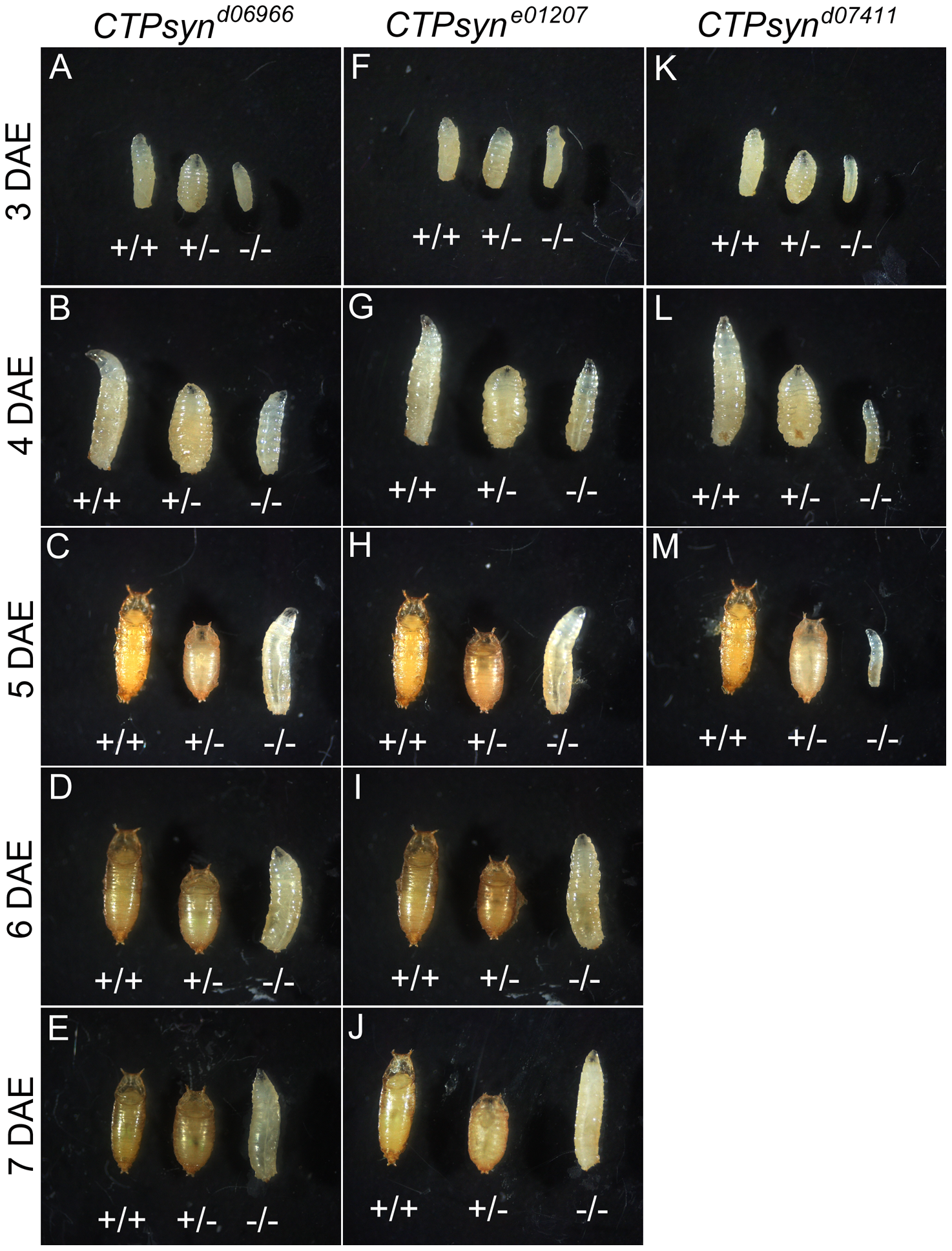 CTPsyn mutants survive until larval stages.