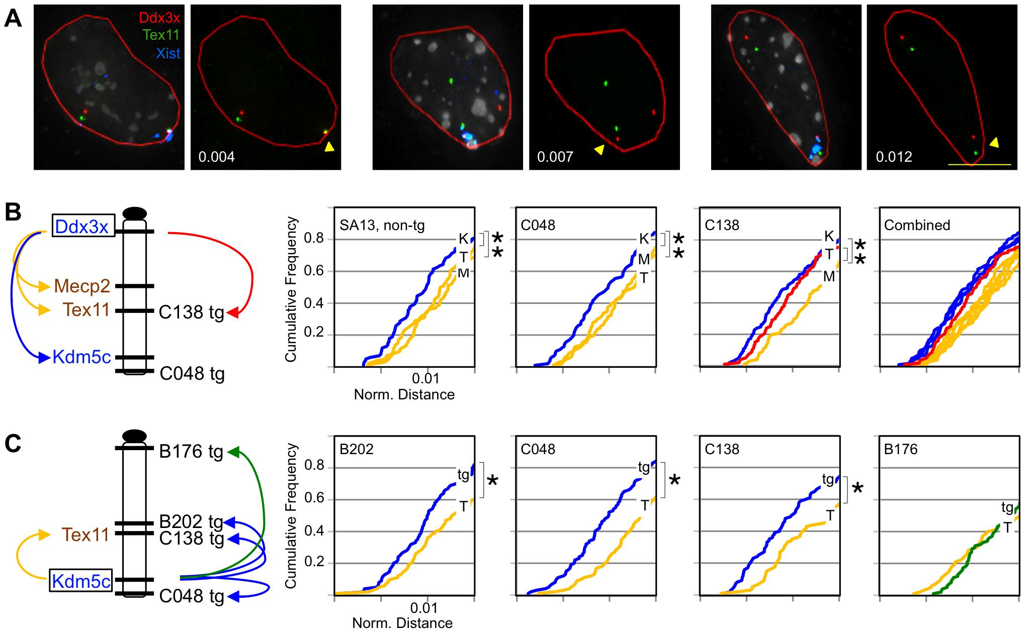 Transgenes assume frequent long-range escape-gene interactions.