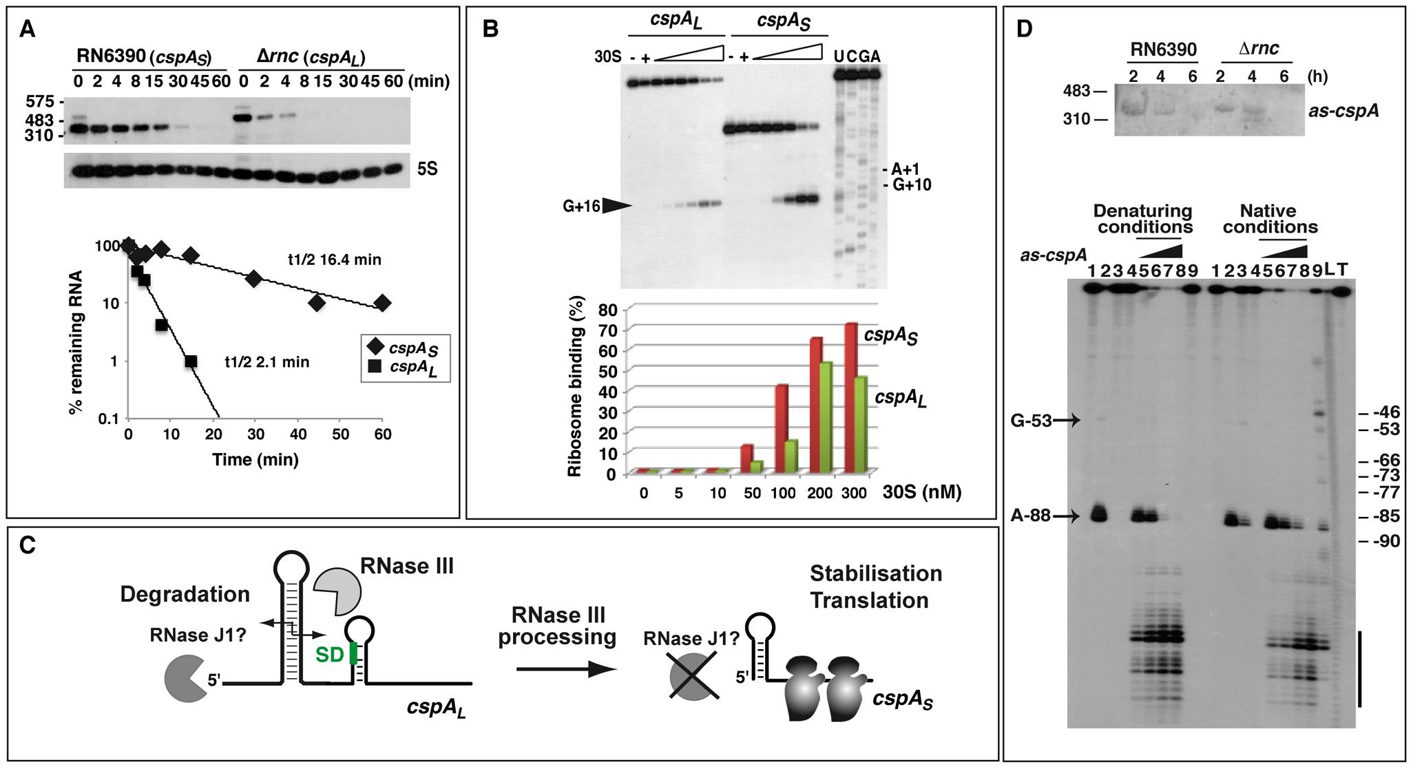 RNase III–dependent processing stabilizes <i>cspA</i> mRNA and enhances translation.