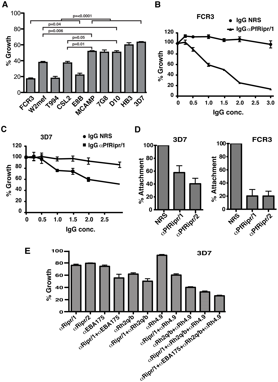 Antibodies to PfRipr inhibit attachment of merozoites to erythrocytes and parasite growth.