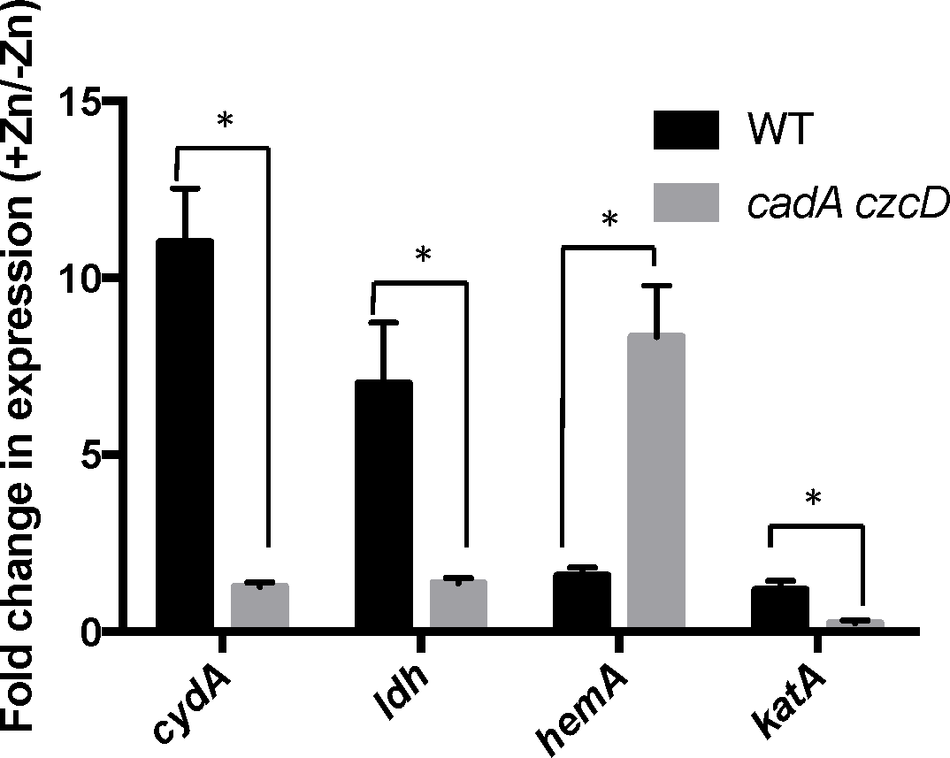 Zn(II) intoxication leads to derepression of the Rex regulon in wild type cells, and dysregulation of PerR in a Zn(II) efflux deficient mutant.