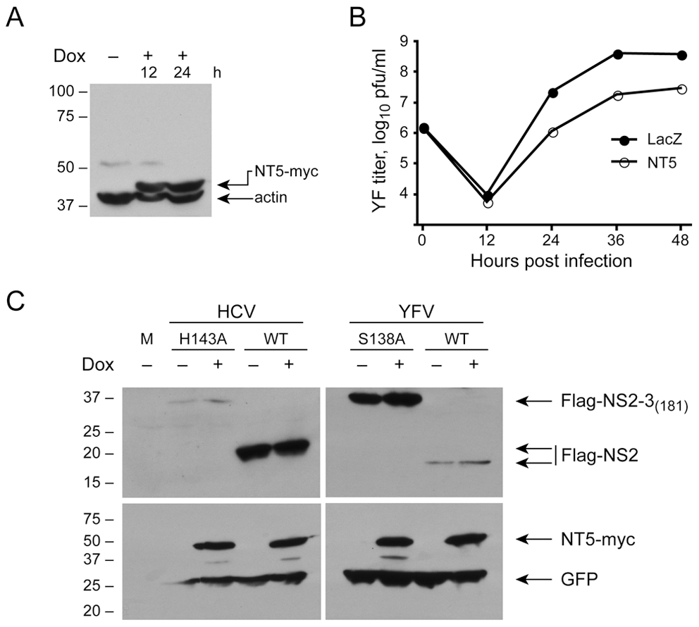 DNAJC14 does not inhibit NS2/3 cleavage of YFV and HCV.