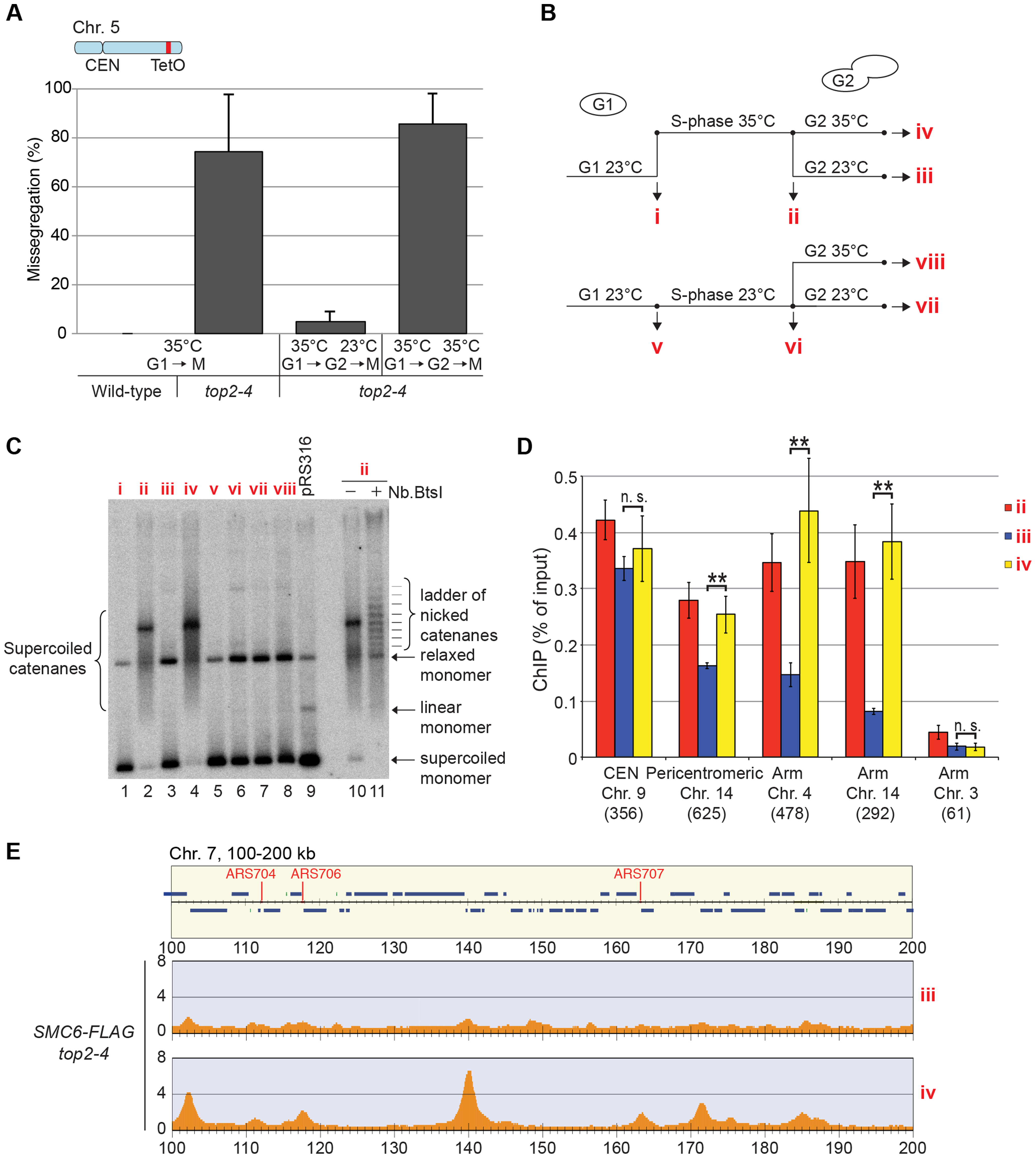 Restoration of Top2 function after replication removes Smc5/6 from chromosomes.