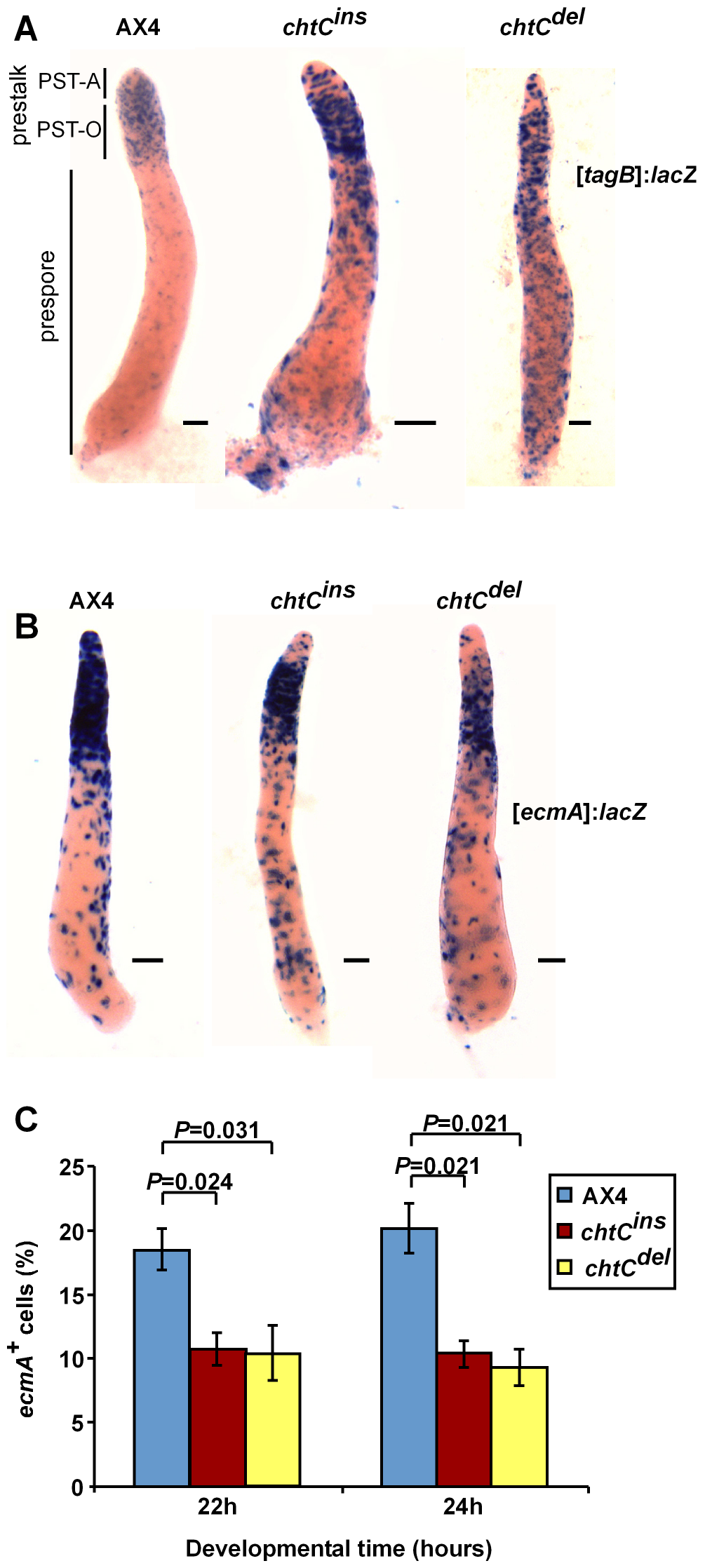 The <i>chtC</i> mutants exhibit prestalk defects.
