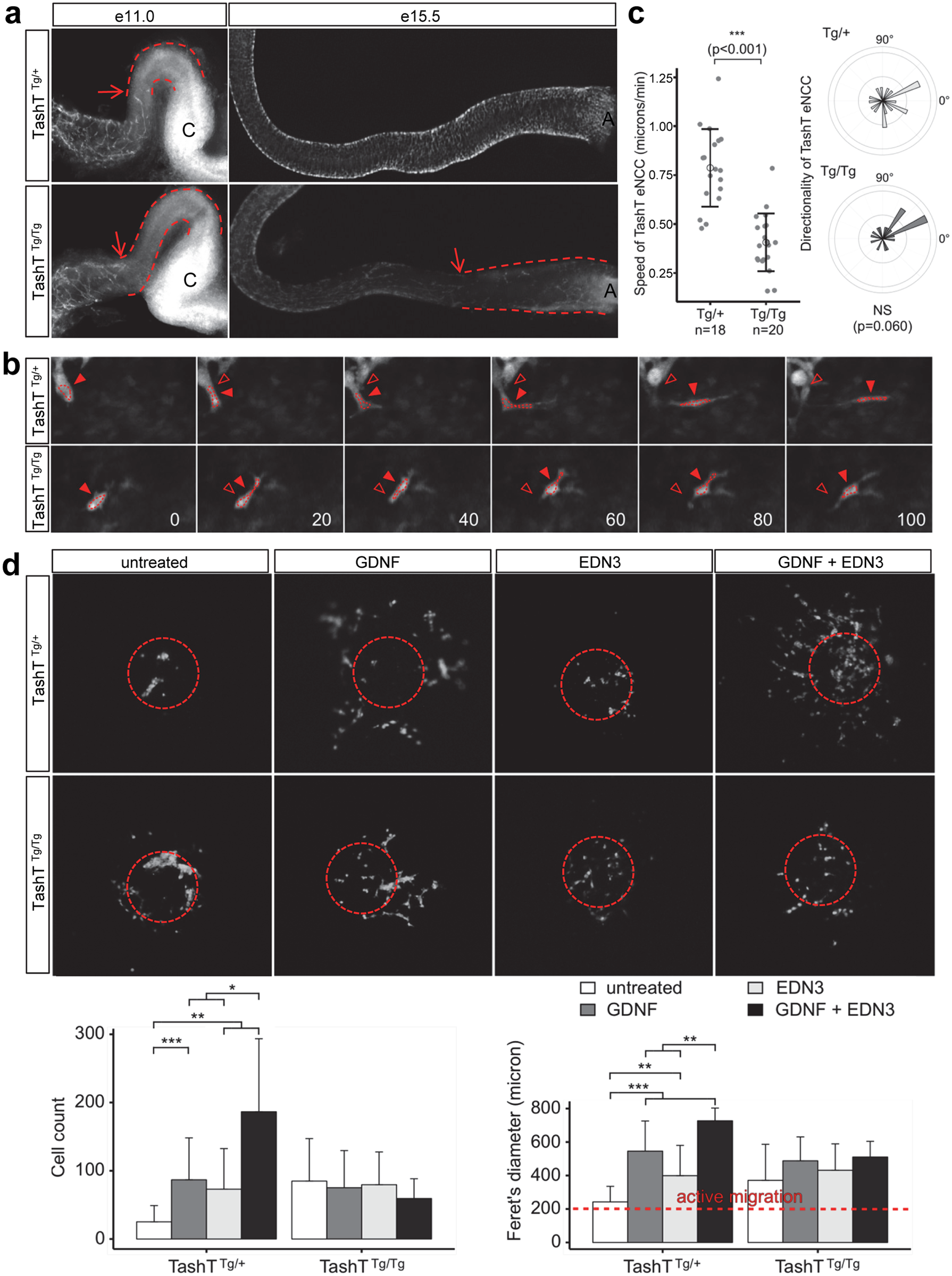 A cell migration defect underlies the defective colonization of TashT<sup>Tg/Tg</sup> embryonic guts by eNCC.