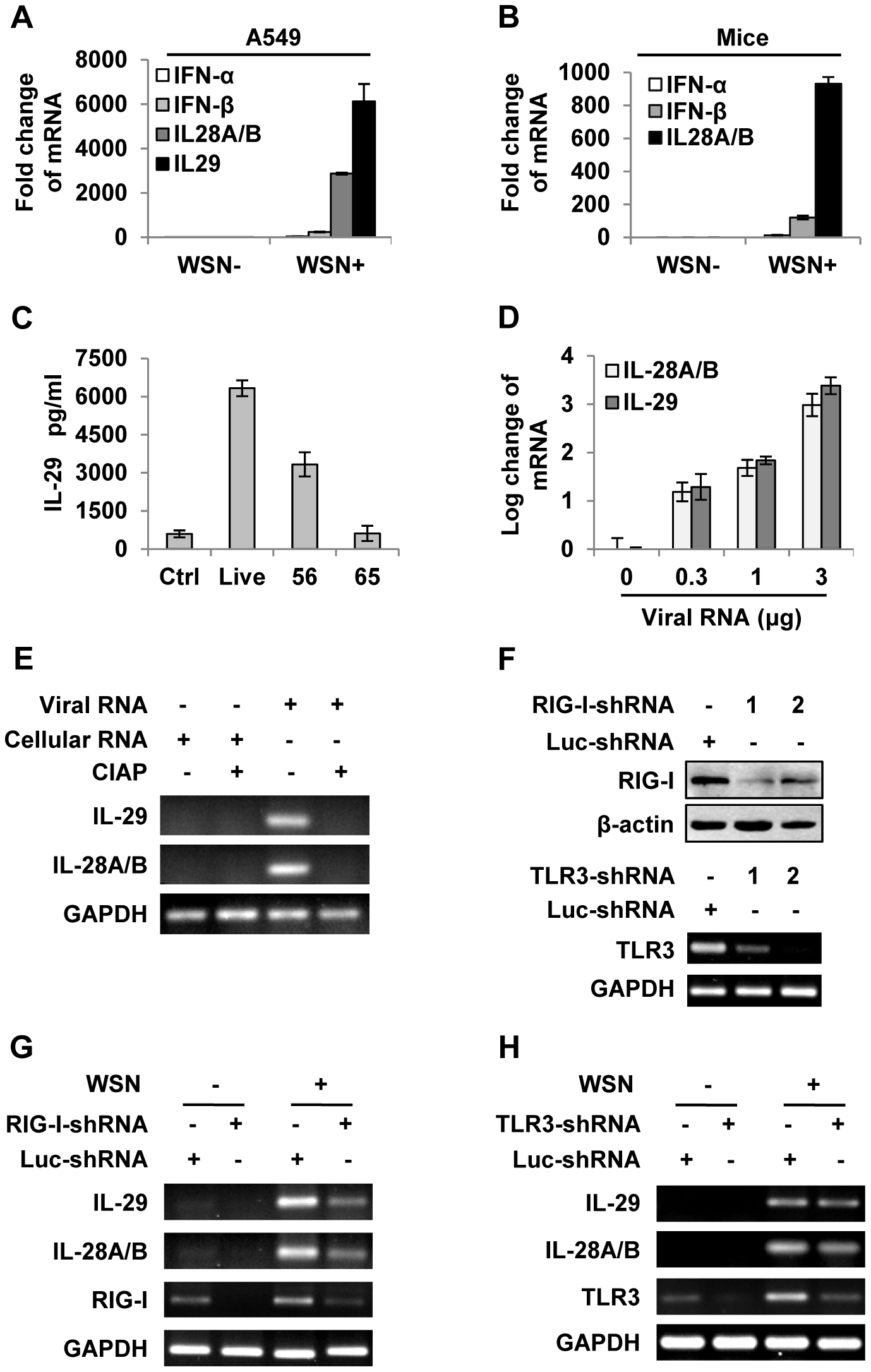 IAV infection induces robust expression of IFN-λ in alveolar epithelial cells mainly through a RIG-I-dependent pathway.