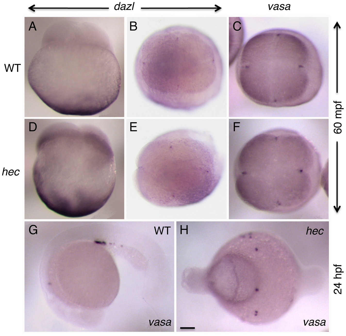 Germ plasm recruitment and PCG determination appears unaffected in <i>hecate</i> mutants.