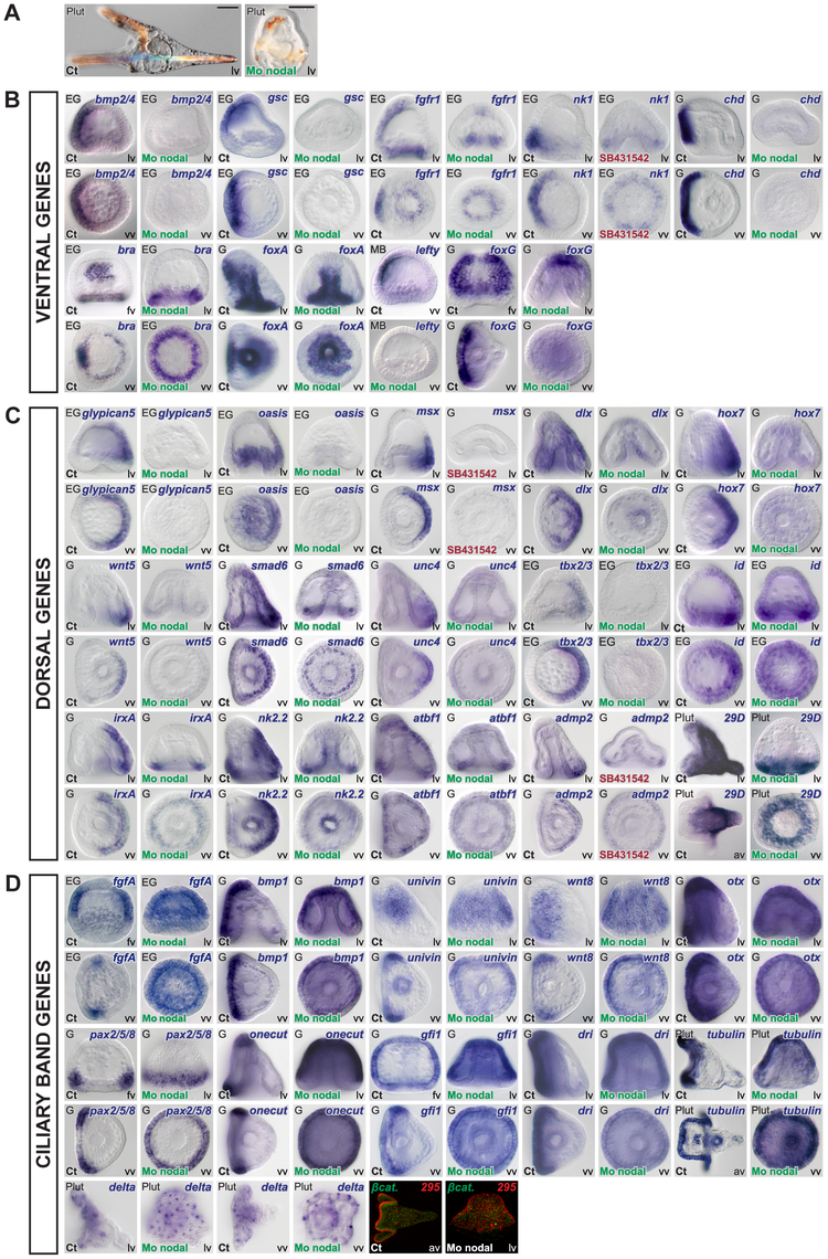 Blocking Nodal function prevents expression of ventral and dorsal marker genes in the presumptive ectoderm and causes massive ectopic expression of ciliary band genes.