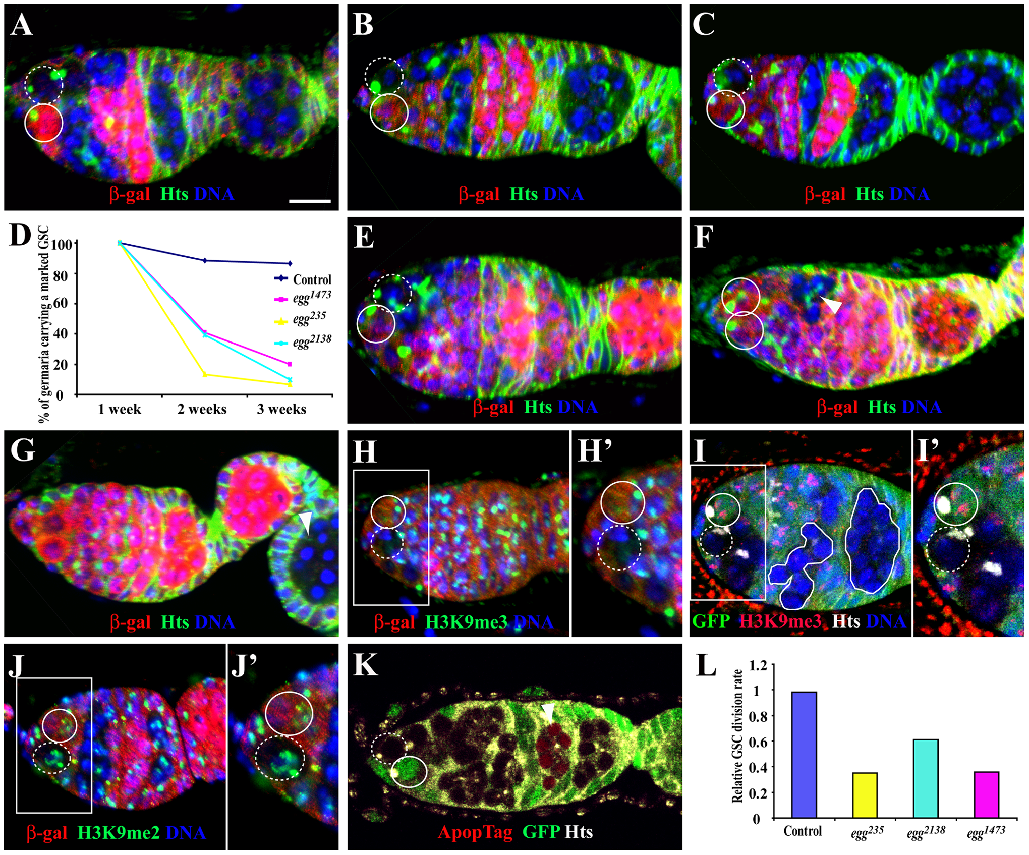 <i>egg</i> is required intrinsically for GSC maintenance and the survival of late differentiated germ cells.