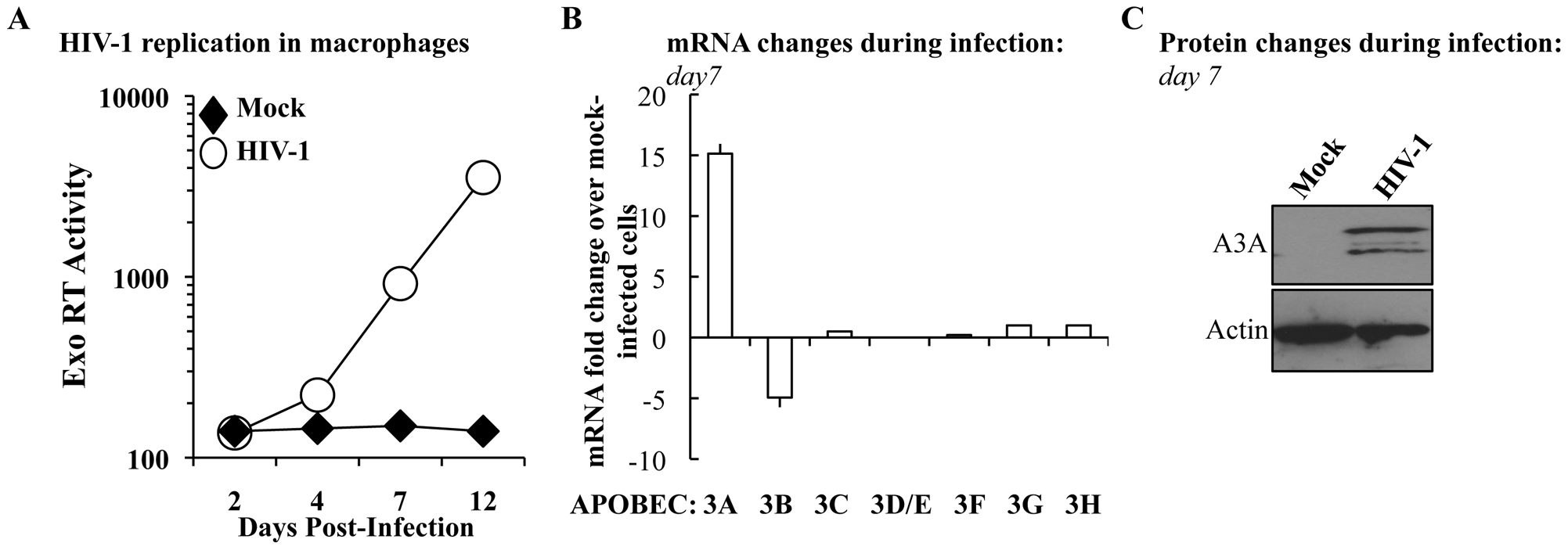 The expression of A3A is specifically increased during HIV-1 spread in infected macrophages.