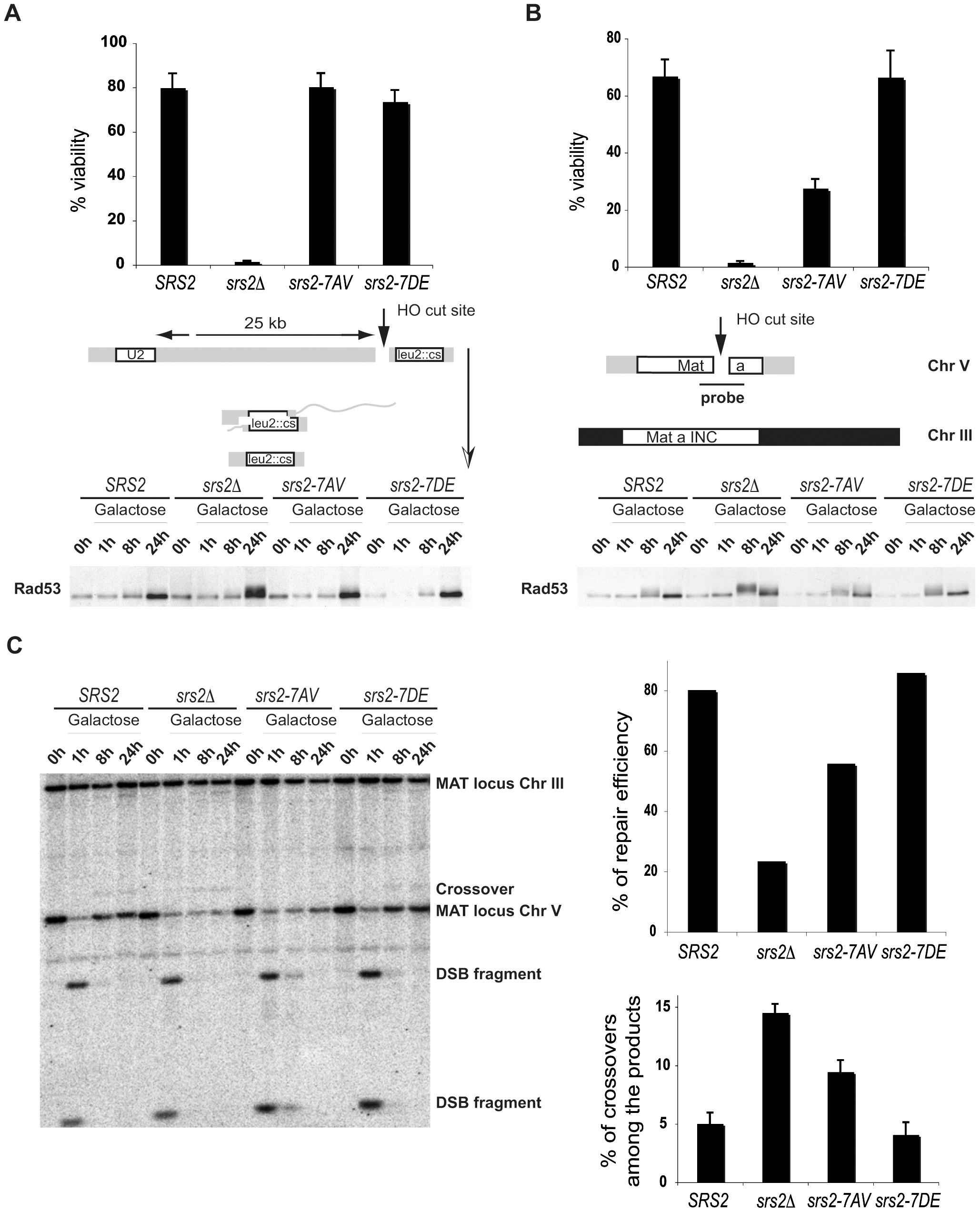 Phosphorylation of Srs2 is required for Rad51-dependent DSB repair via the SDSA pathway.