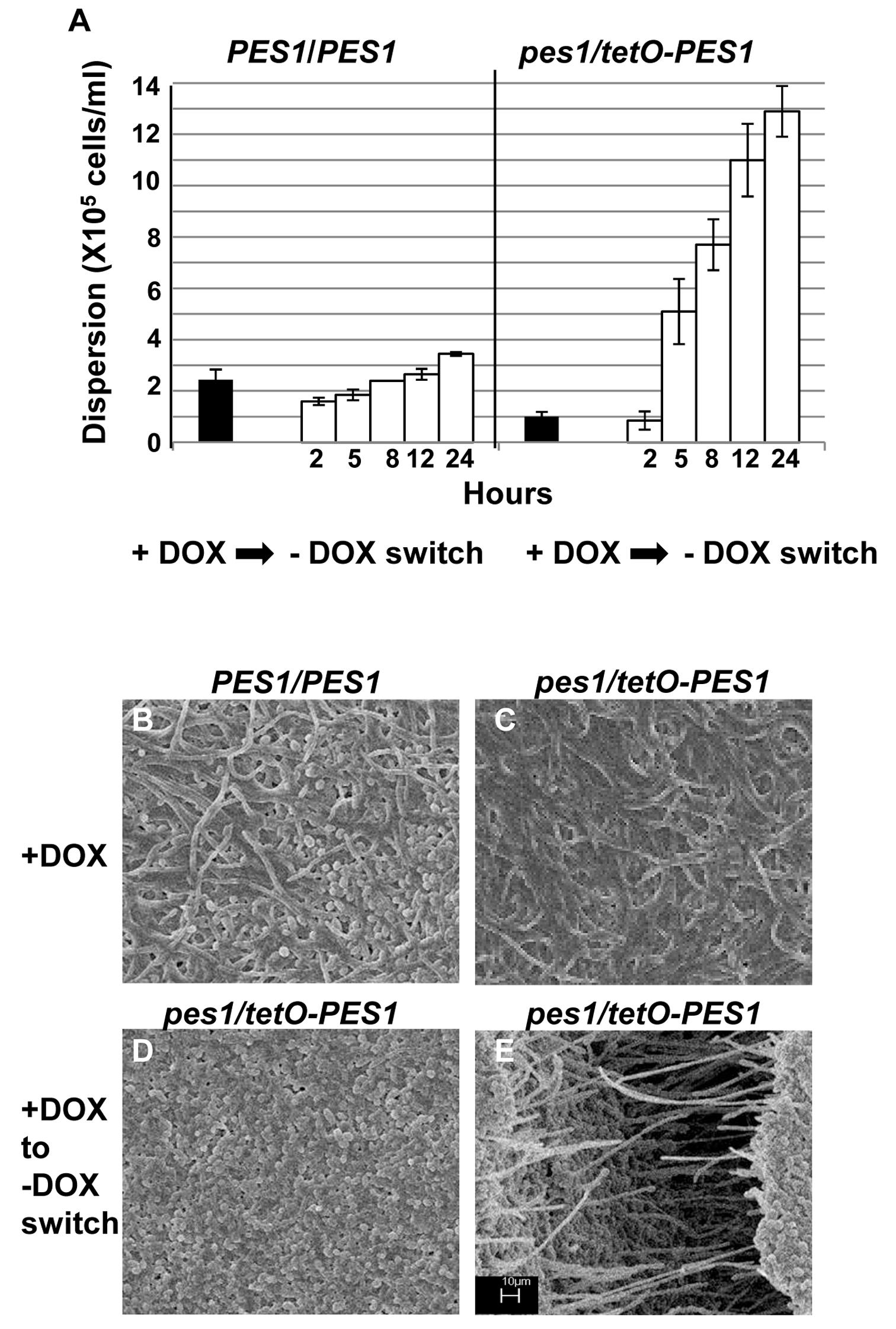 Regulation of <i>C. albicans</i> biofilm dispersion by <i>PES1</i>.