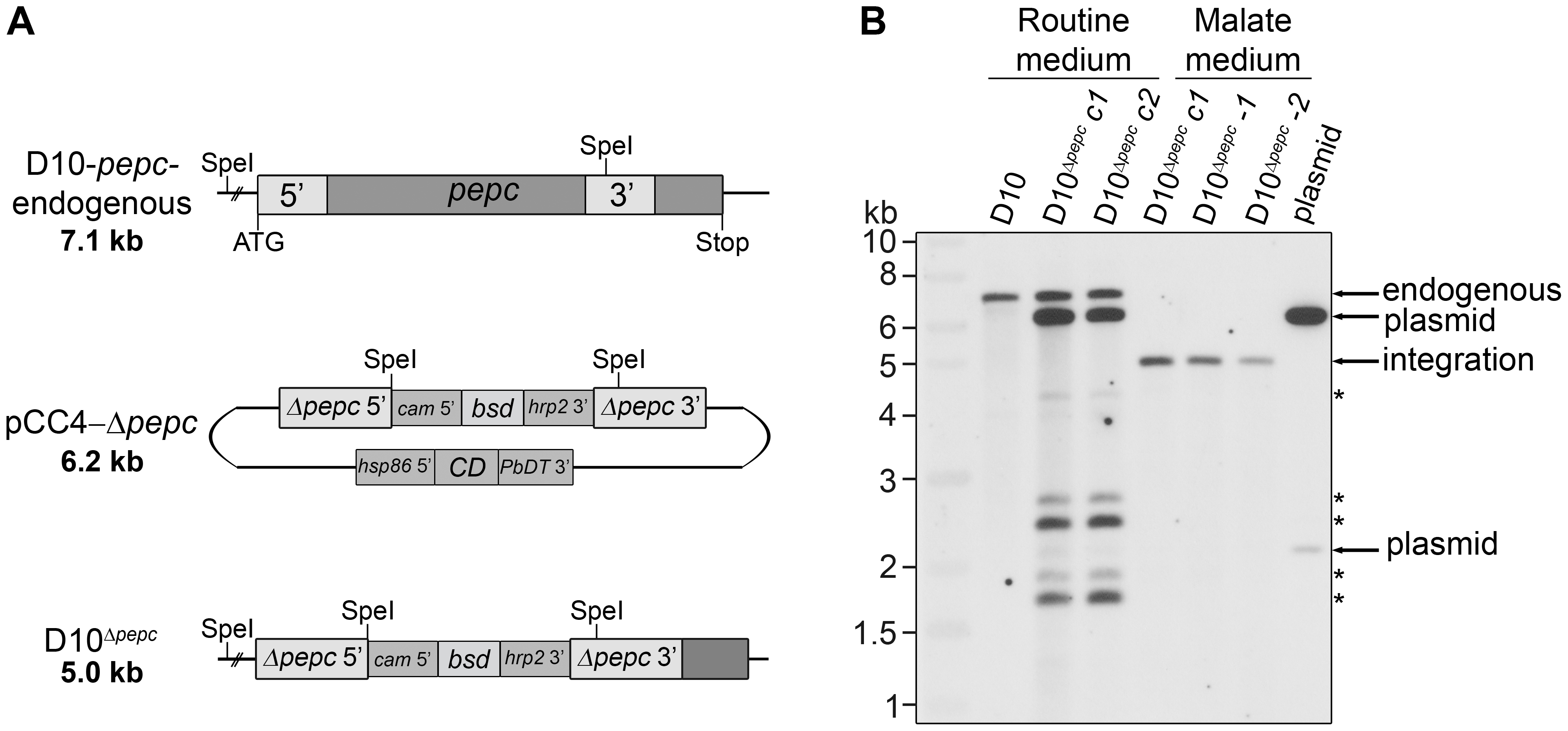 Gene replacement of <i>pepc</i>.