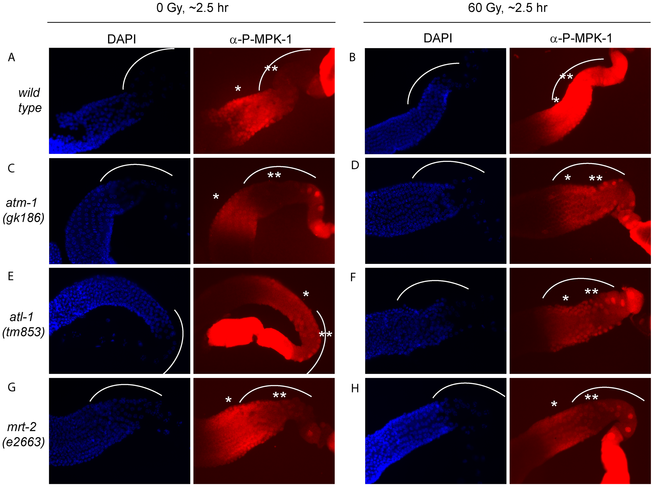 The activation of MPK-1 by irradiation is not dependent on the DNA damage response pathway.