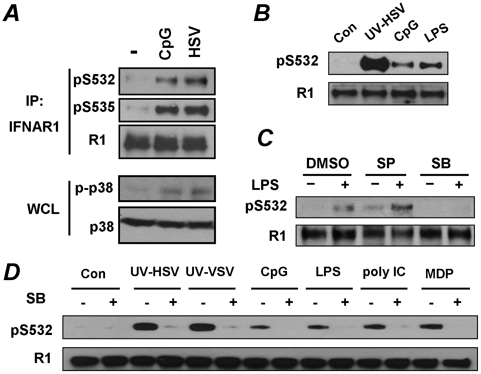 Pathogen recognition receptor signaling induces p38 kinase-dependent priming phosphorylation of IFNAR1.