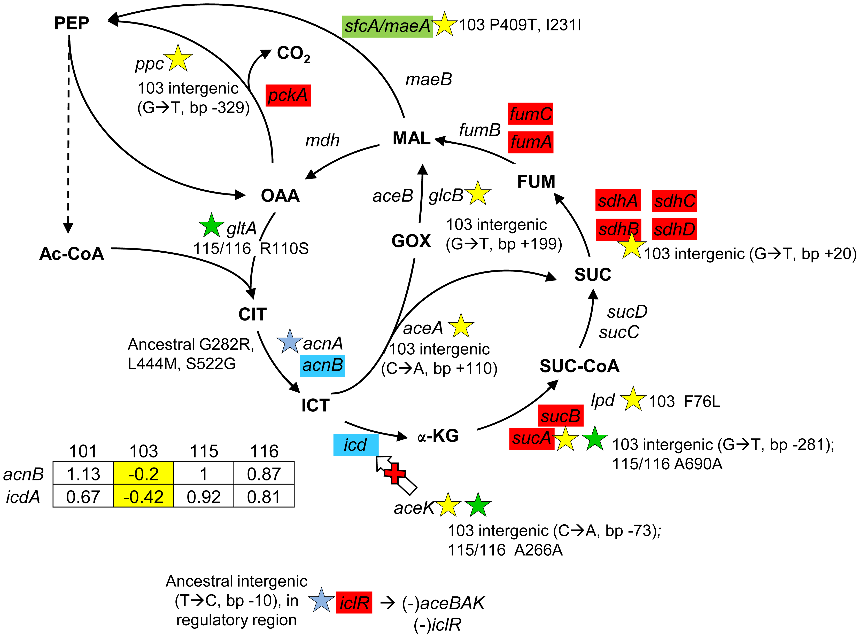 Gene expression and SNPs among loci in the TCA cycle and glyoxylate shunt.