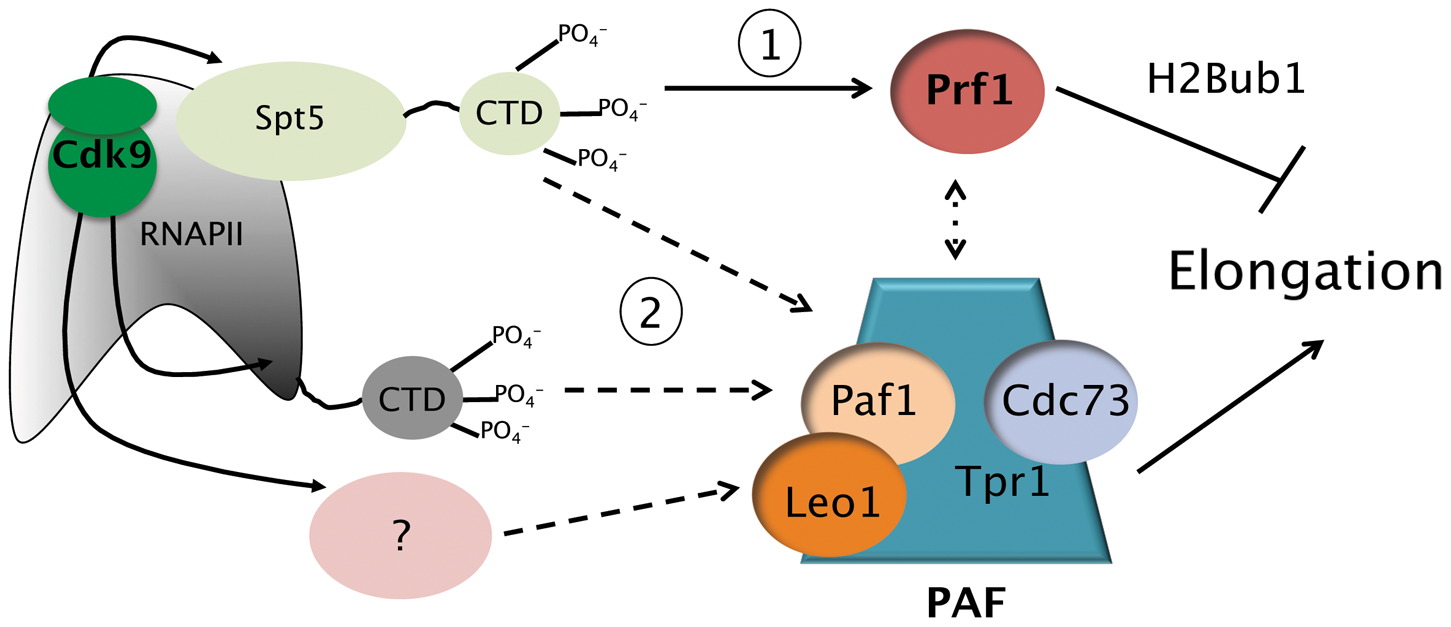 Model depicting the roles of the Prf1/Rtf1 and PAF pathways in RNAPII elongation.
