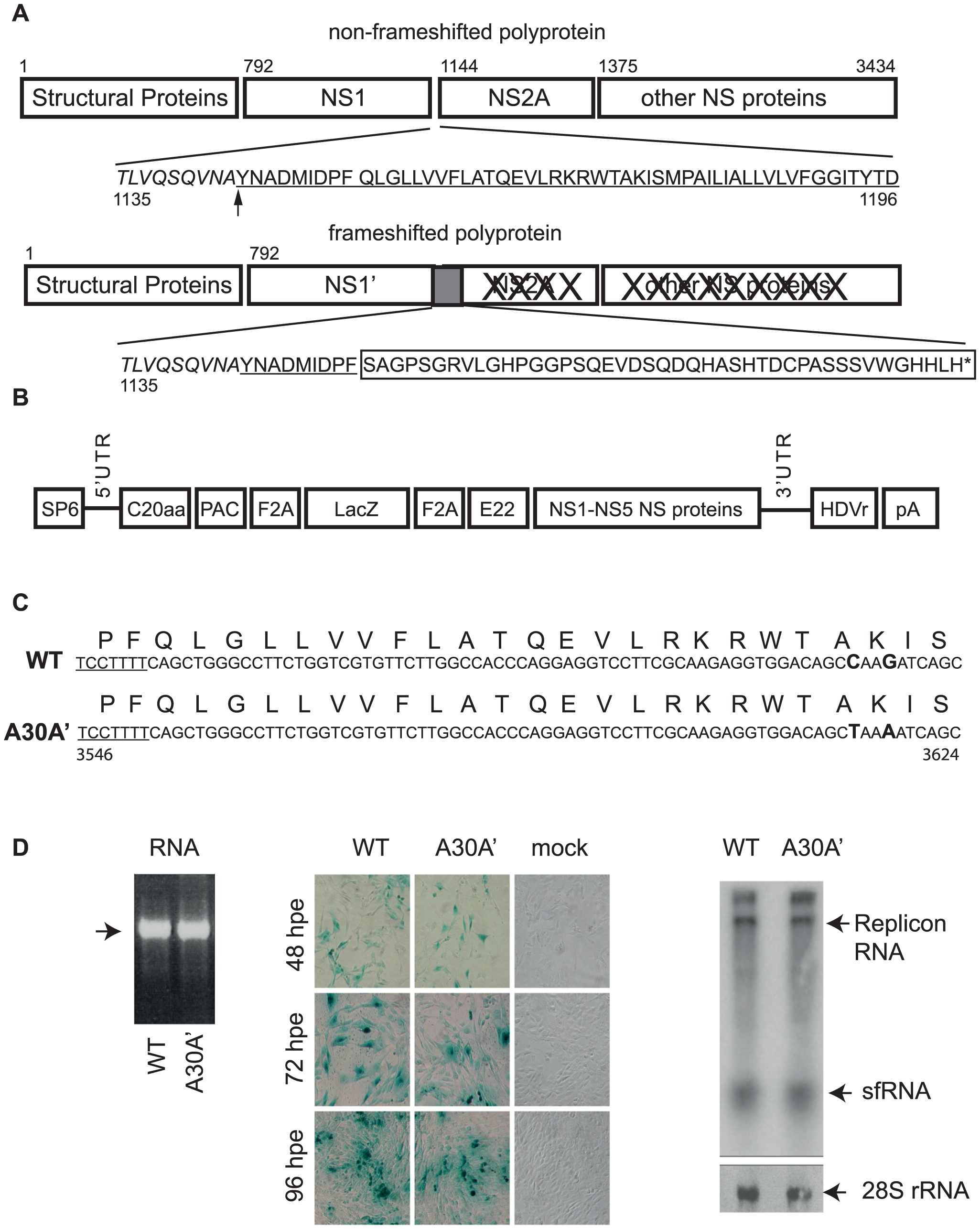 WT and A30A′ replicons show similar rates of replication in BHK cells electroporated with KUNRep-WT or KUNRep-A30A transcribed RNAs.