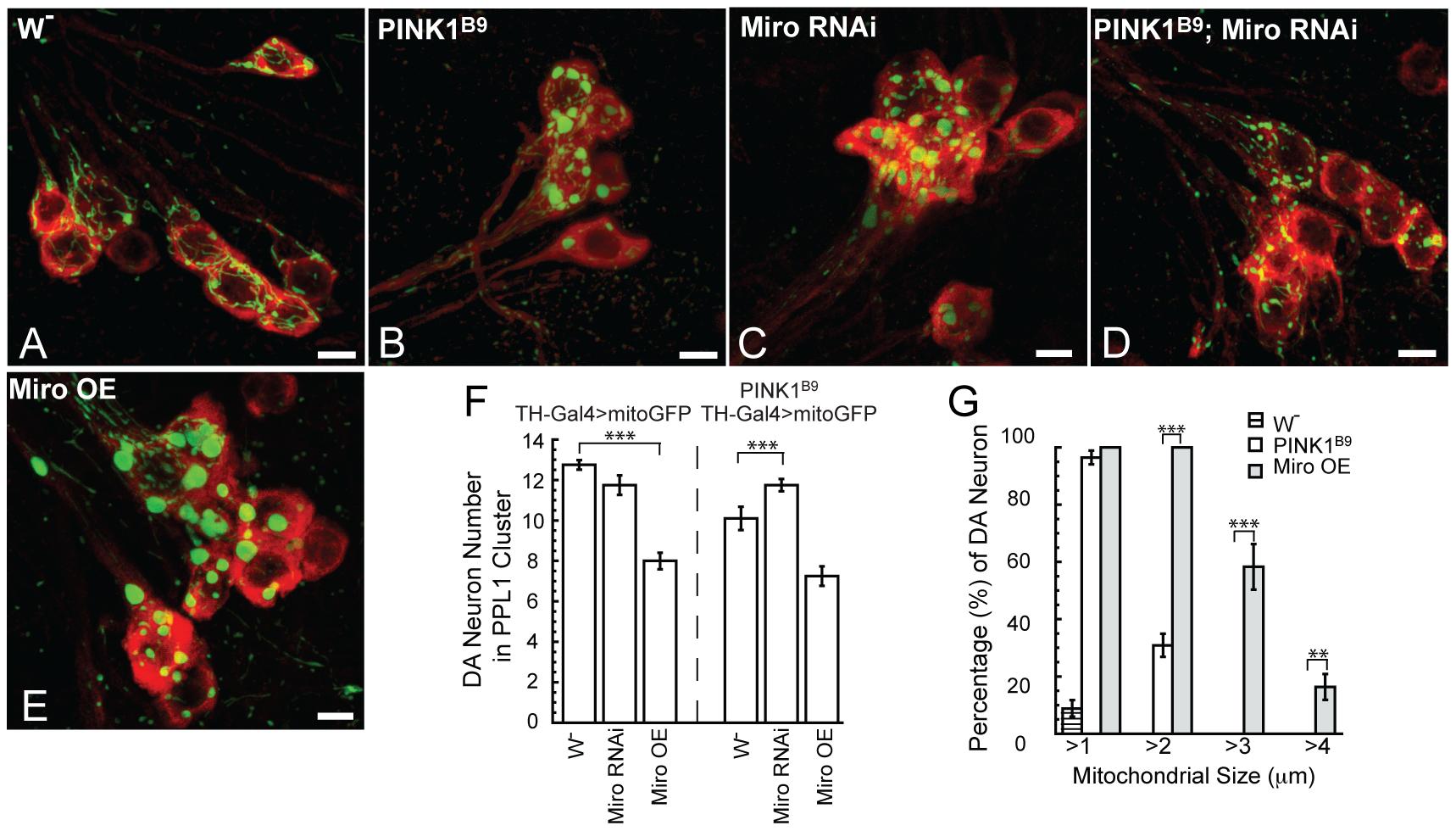 Genetic interaction between PINK1 and Miro in DA neurons.