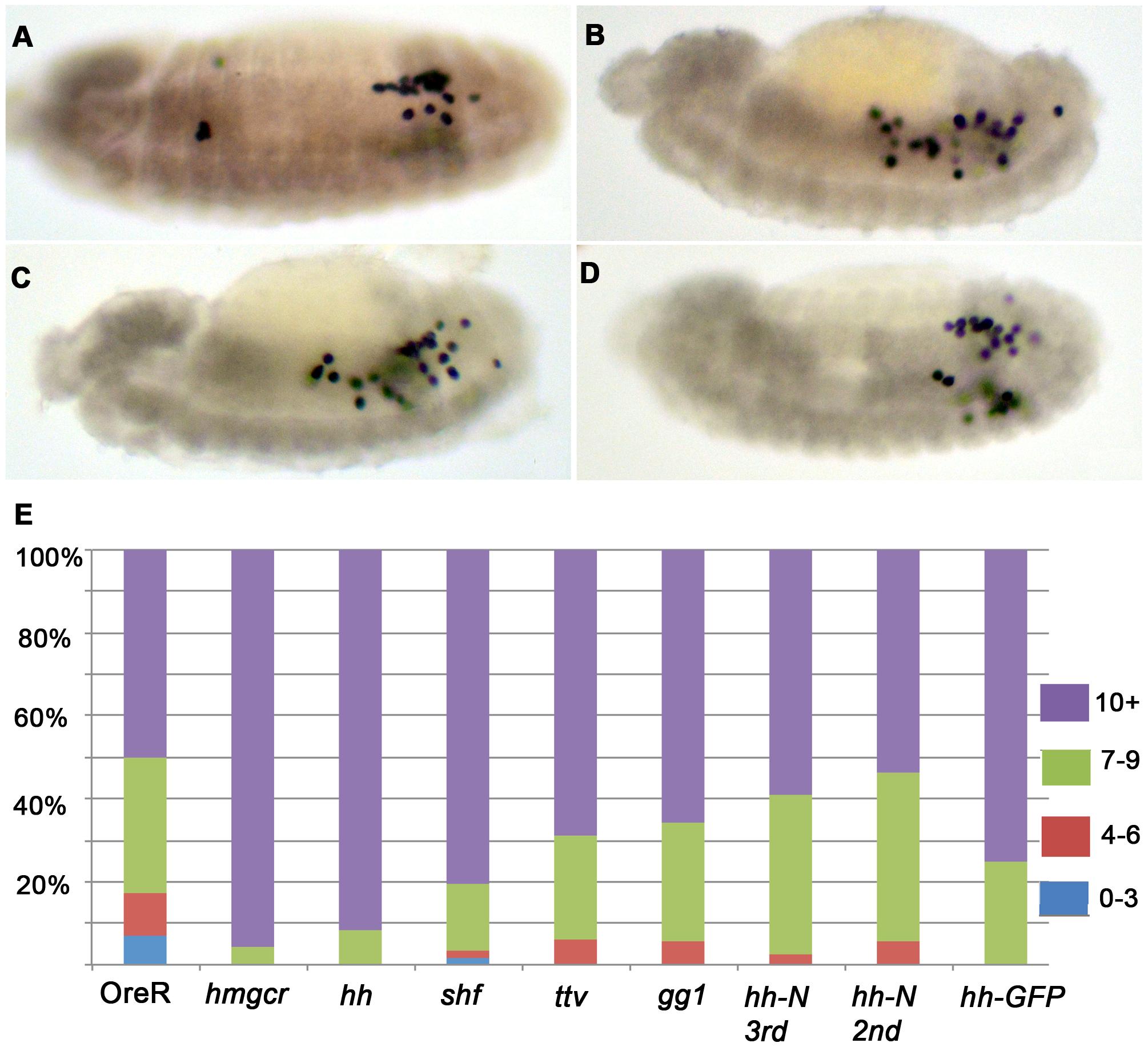 Enhancement of the <i>elav</i>-<i>GAL4 UAS</i>-<i>hmgcr</i> PGC migration defects by co-expression of <i>hh</i> pathway genes.