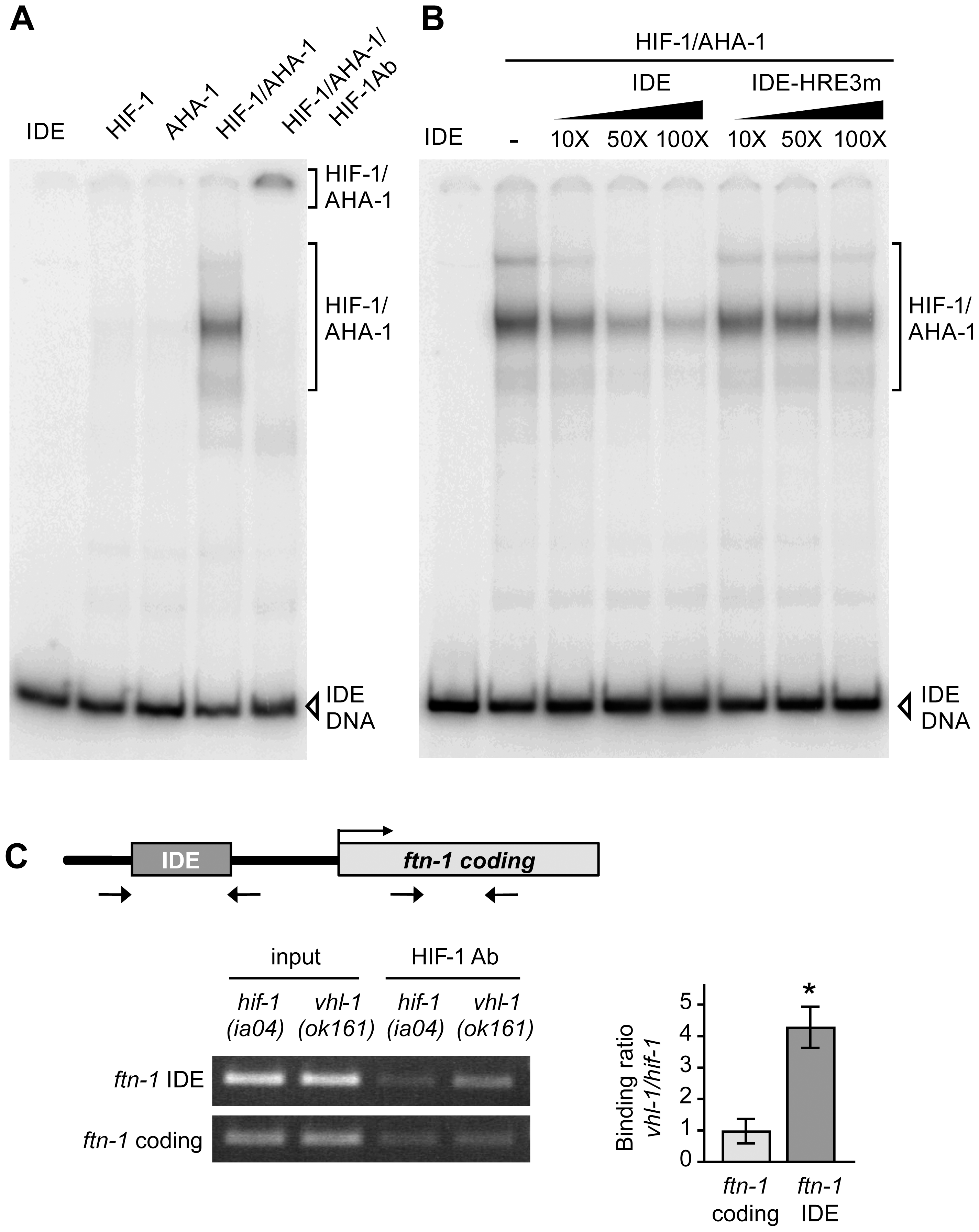 HIF-1 binds to the <i>ftn-1</i> IDE in vitro and in vivo.