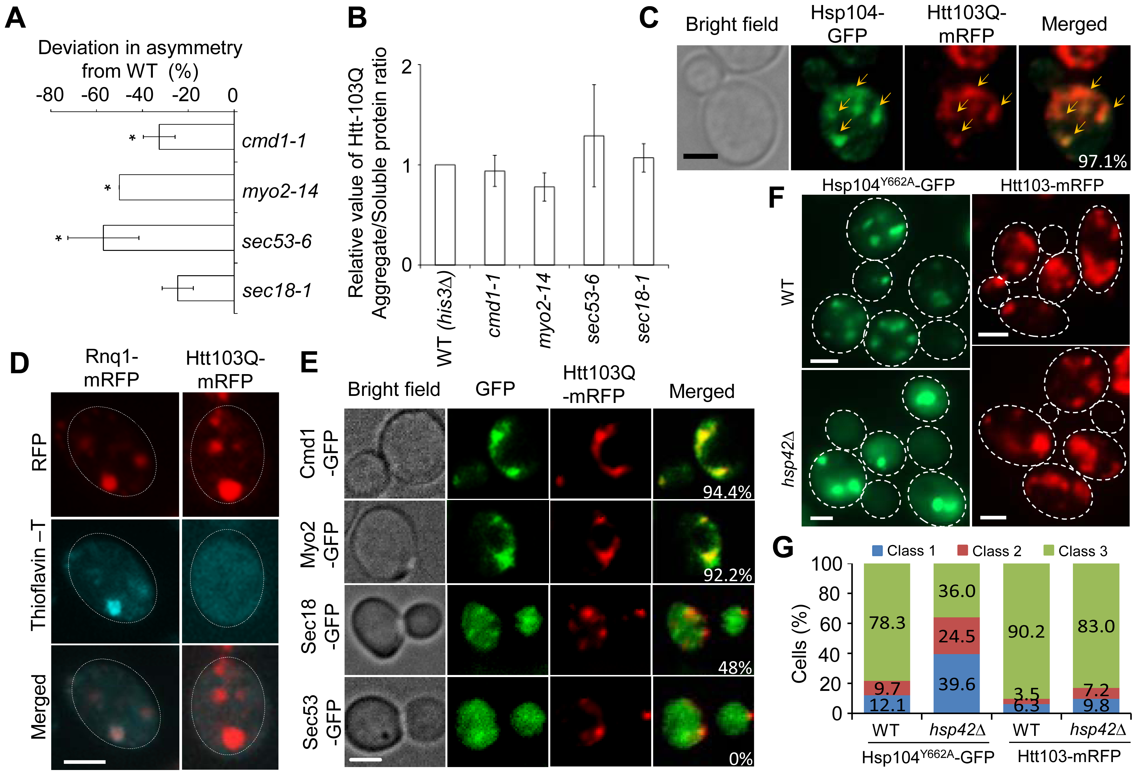 Htt103Q foci associate with Cmd1/Myo2/actin and require Cmd1, Myo2, and SEC genes for their mother cell-biased segregation.