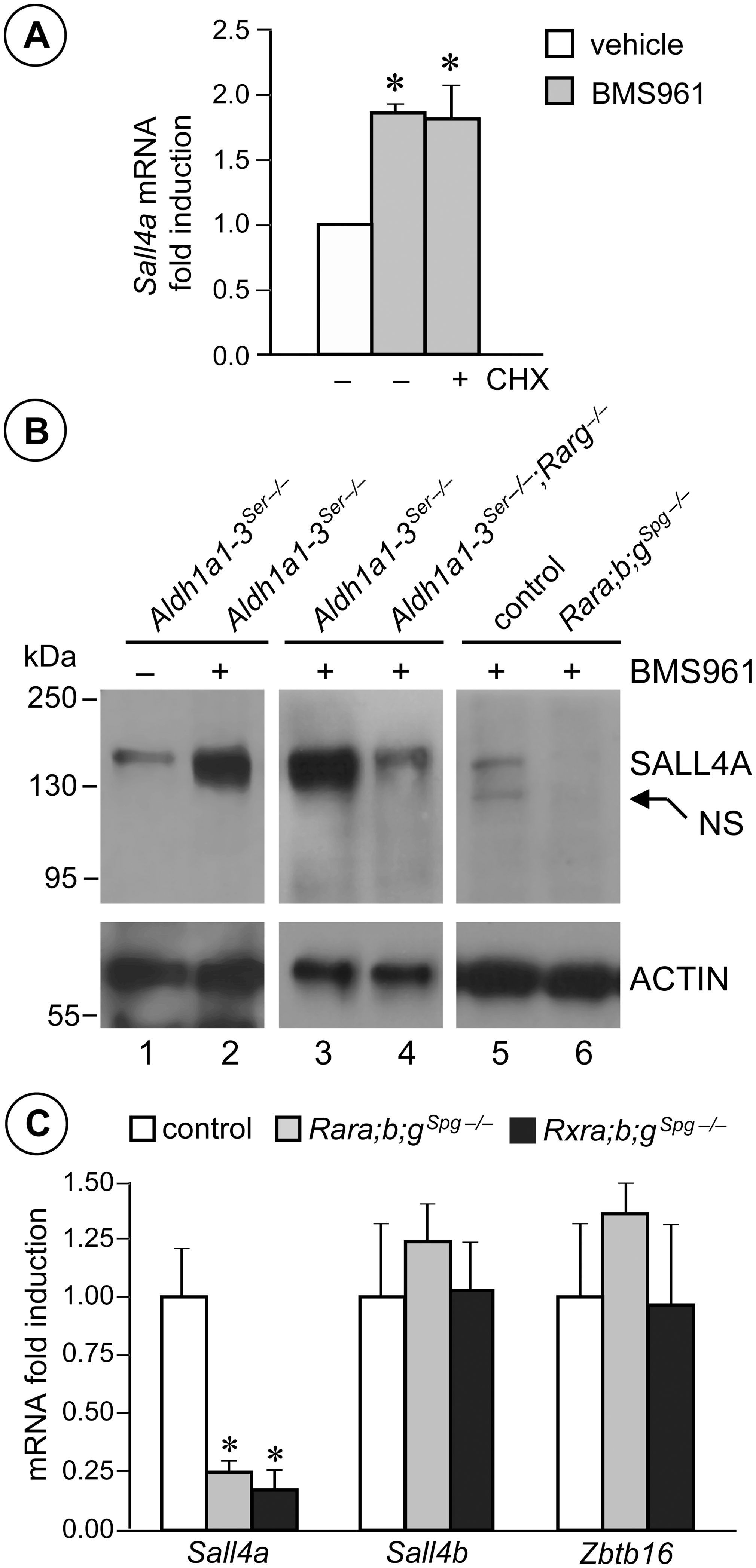 <i>Sall4a</i> expression in undifferentiated spermatogonia is controlled by ligand-activated RARG.