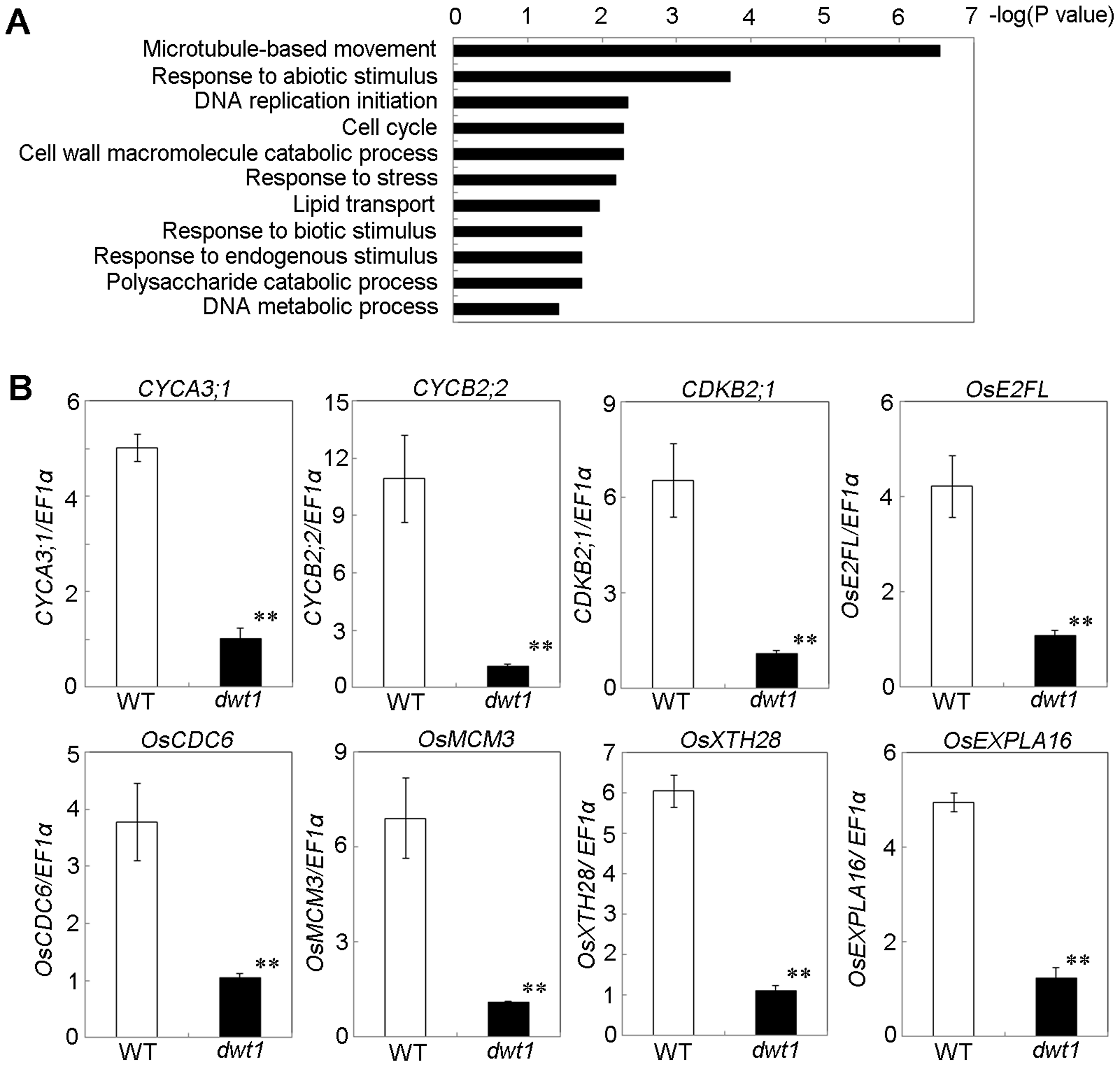 <i>DWT1</i> affects the expression of genes related to cell division and cell elongation.