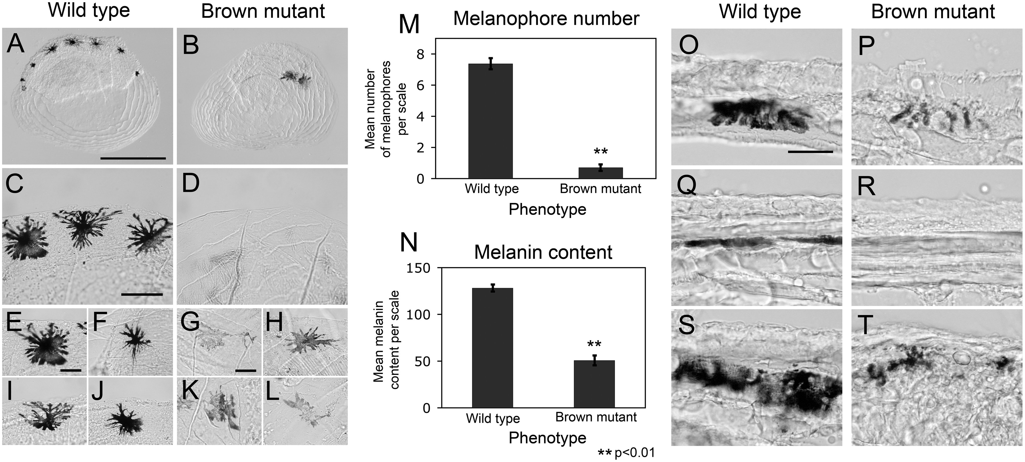 Variation in melanophore number and melanin content in scales derived from Surface (wild type) and brown mutant fish.