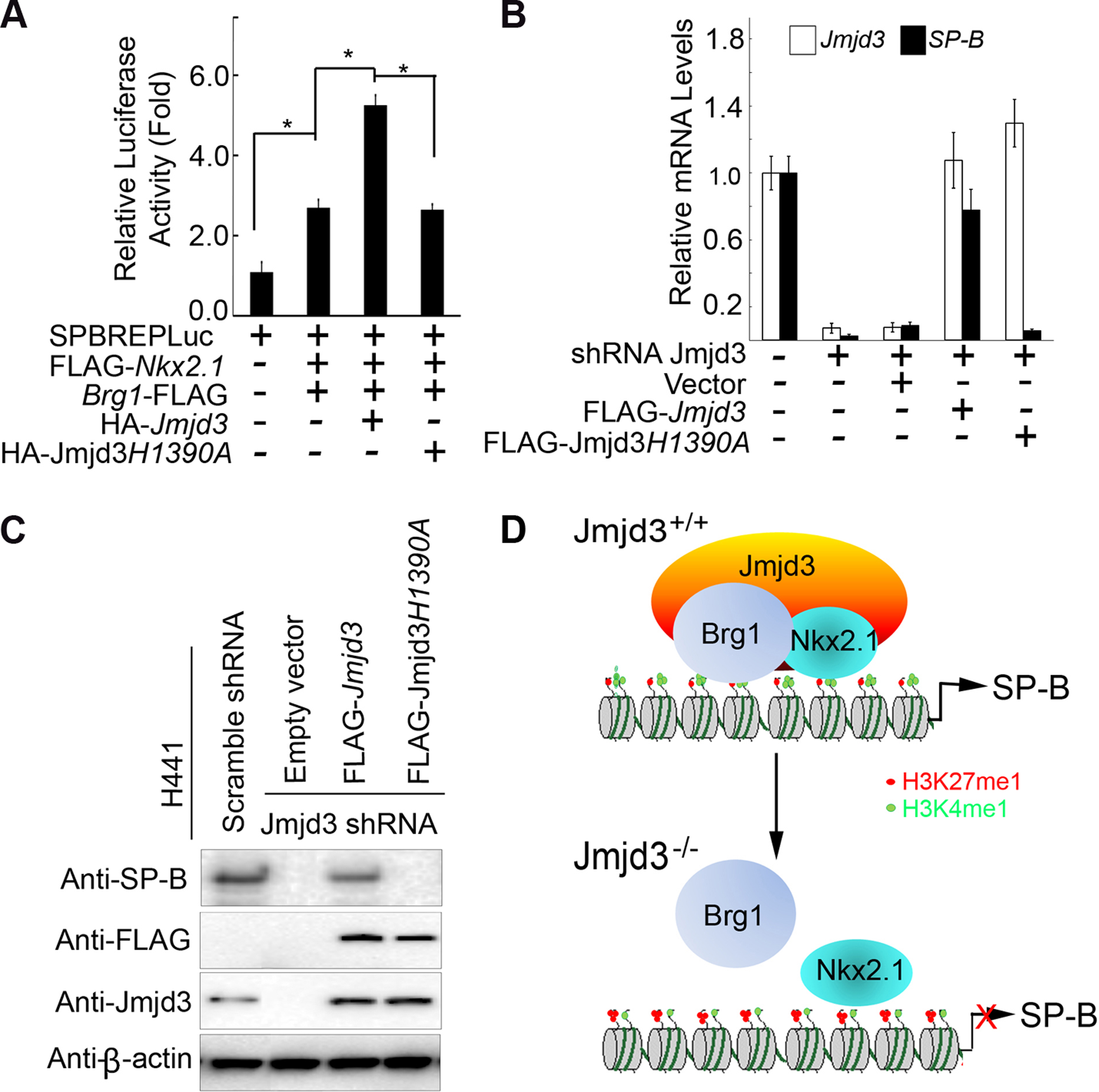 The demethylase activity of Jmjd3 is required for the regulation of <i>SP-B</i> expression.