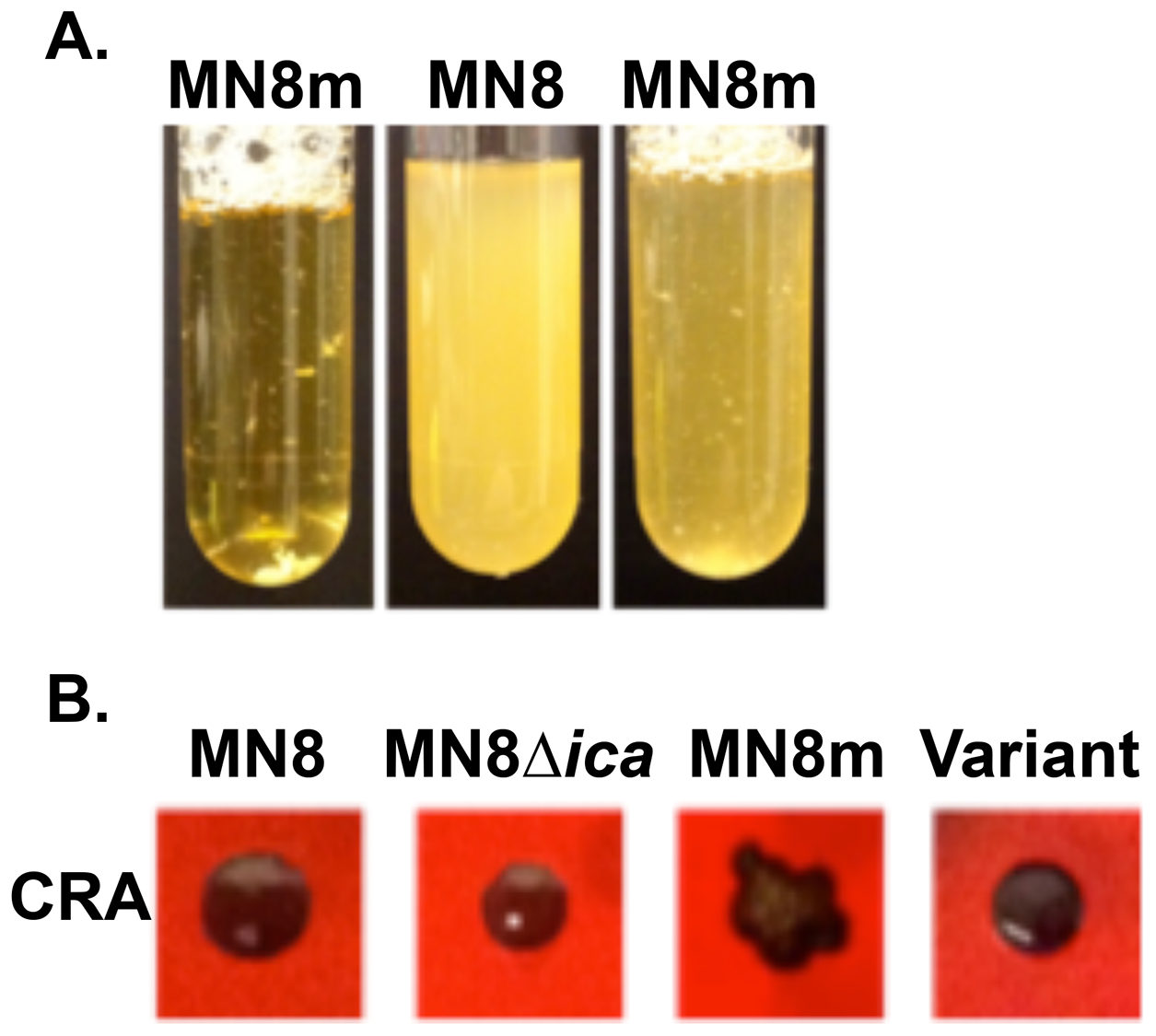 Phenotype characterization of non-mucoid variants isolated from mucoid strain MN8m.