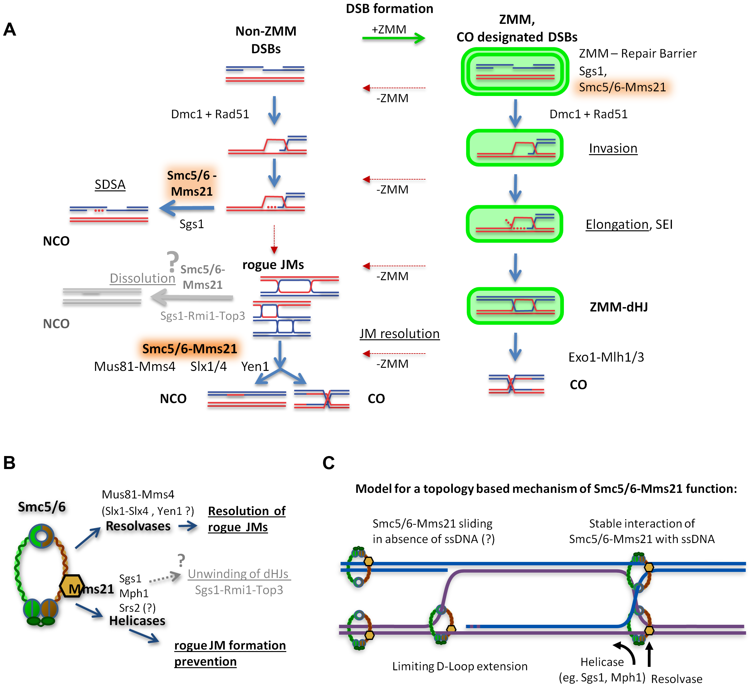 Model of how Smc5/6-Mms21 may antagonize inappropriate JMs in meiotic recombination.