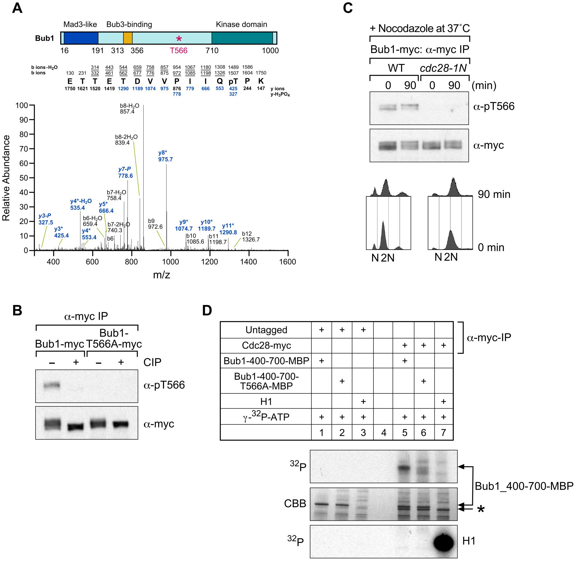 Threonine 566 on Bub1 is phosphorylated dependently on Cdc28 <i>in vivo</i>.